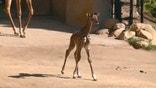 Buttercup the baby giraffe born last week at the Santa Barbara Zoo, was seen taking its first steps.