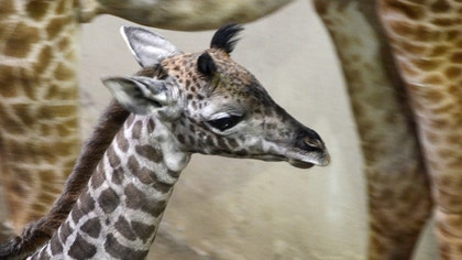 Santa Barbara Zoo welcomes its latest addition