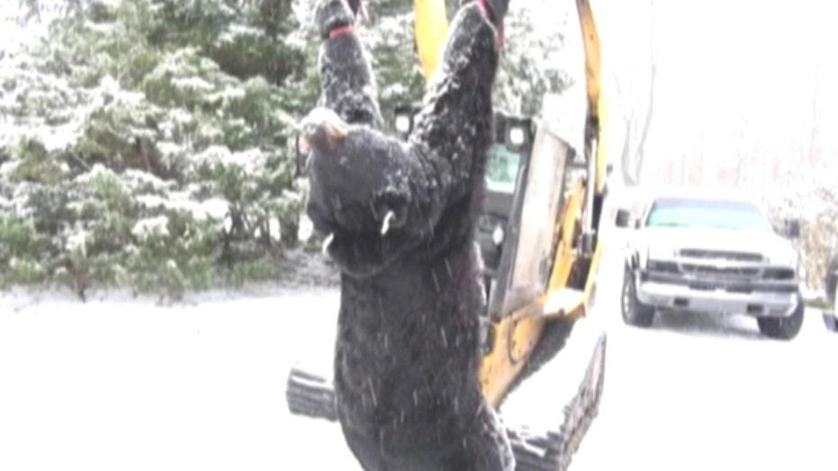 772 pound bear caught in Pennsylvania