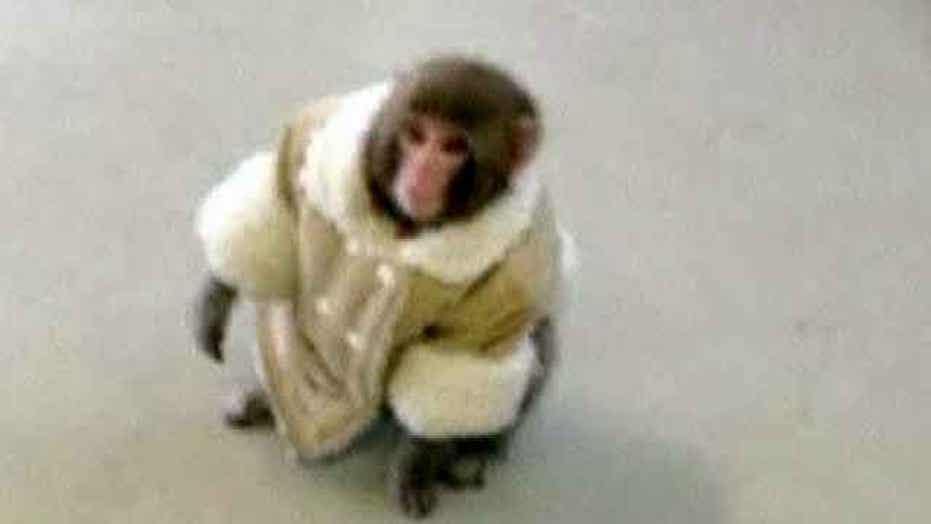 Stylish monkey causes commotion at Canadian IKEA