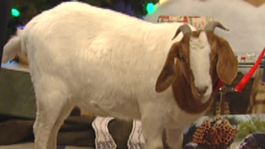 Goats: The gifts that keep on giving