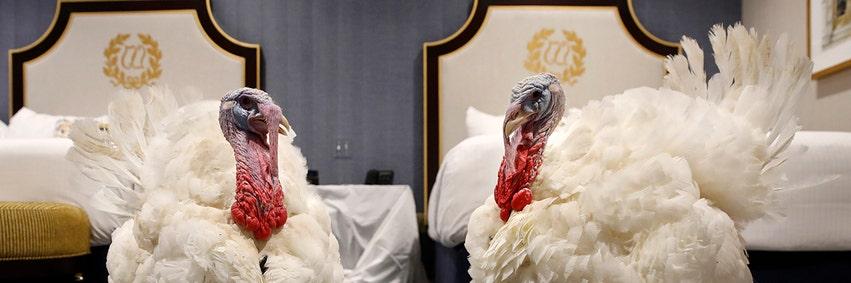 Trump's pardoned turkeys lead lavish life