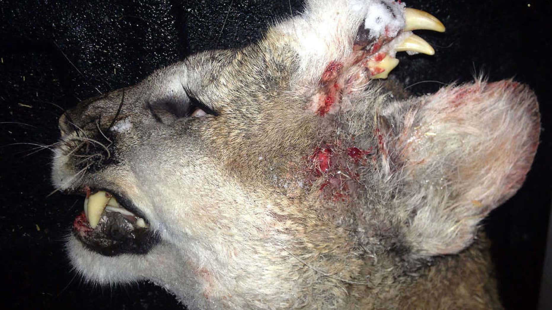 Mountain lion was found with a set of teeth and whiskers growing out of its head.