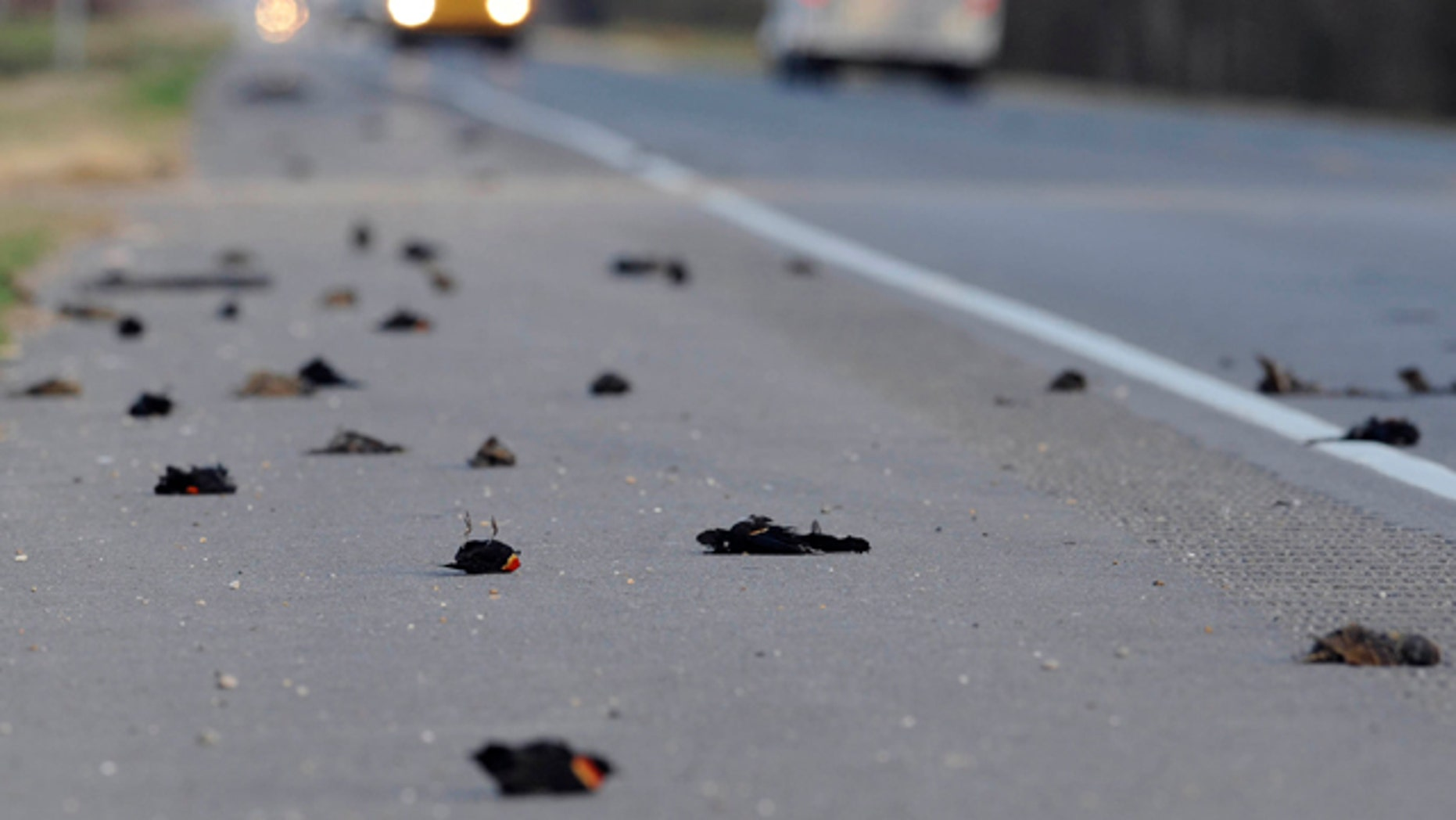 Jan. 3: Hundreds of dead birds lay along the side of the Morganza Hwy. in Pointe Coupee Parish, La., about 300 miles south of Beebe, Ark., where more than 3,000 blackbirds fell from the sky three days earlier.