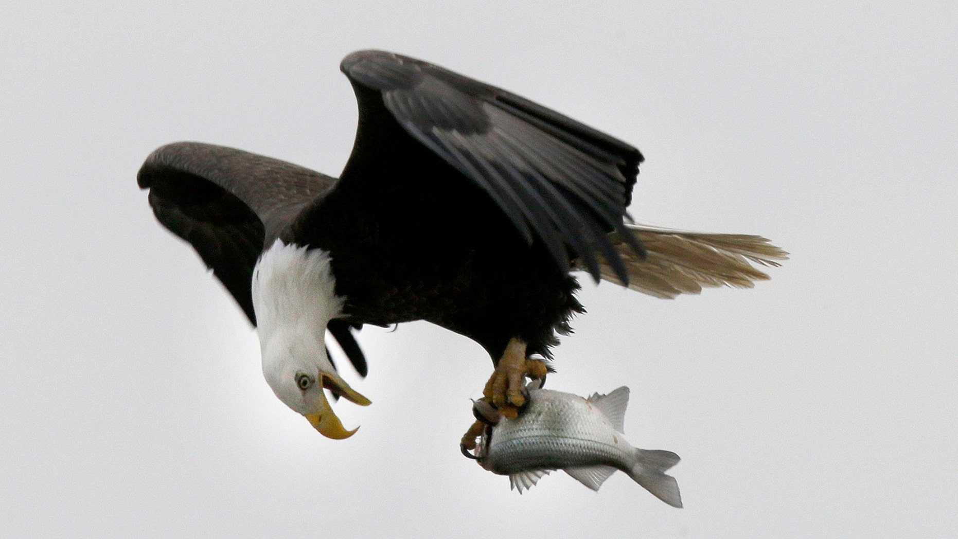 In this Jan. 28, 2016, photo, a bald eagle holds a fish taken from the Haw River below Jordan Lake in Moncure, N.C. Jordan Lake, a 14,000-acre reservoir in the Triangle Region of the state is home to a dozen or more pairs of nesting bald eagles. The many miles of shoreline make for a perfect habitat for the nation's symbol. (AP Photo/Gerry Broome)