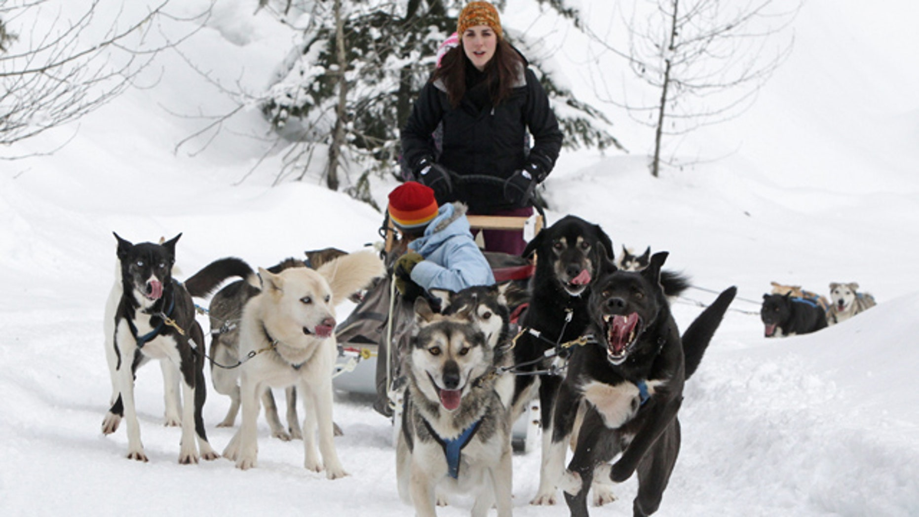 Jan. 31: Sled dogs pull tourists during a tour run by Outdoor Adventures in the Soo Valley north of Whistler, British Columbia, Canada.