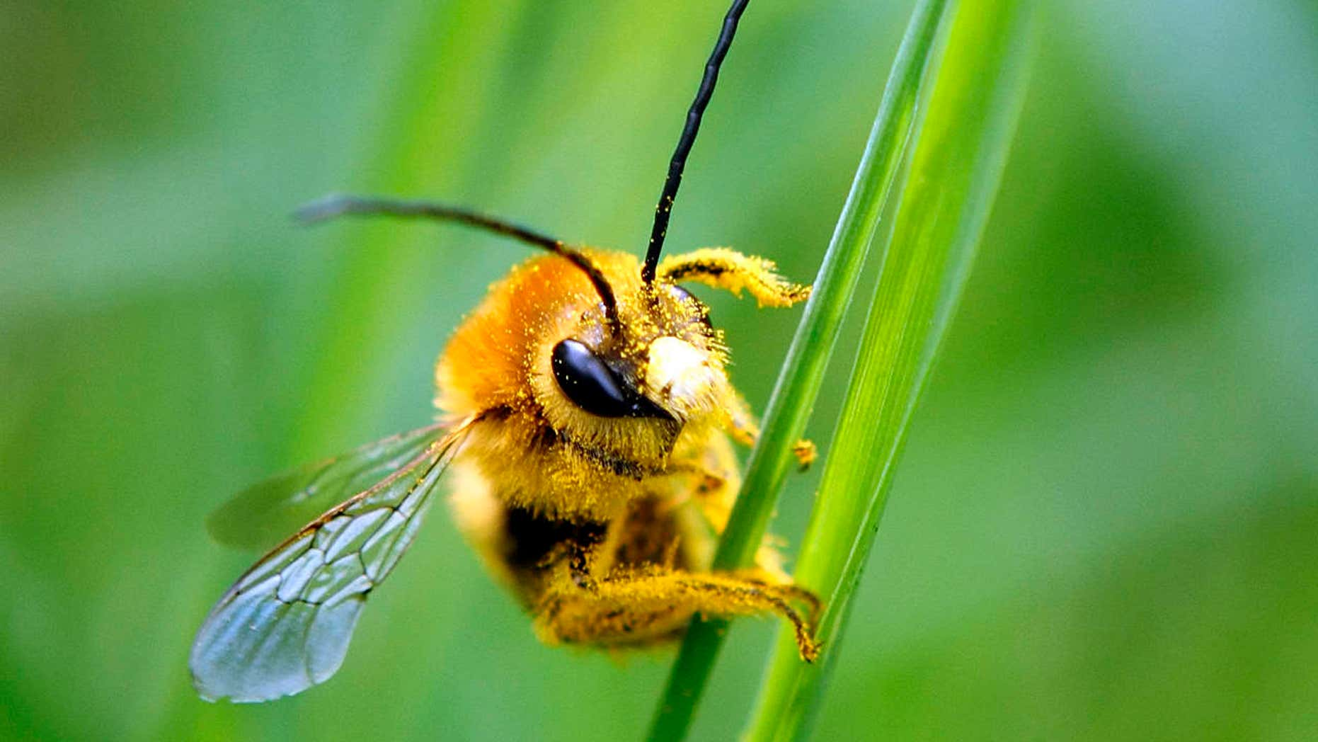 A bee is covered with pollen as it sits on a blade of grass at a lawn in Klosterneubur.