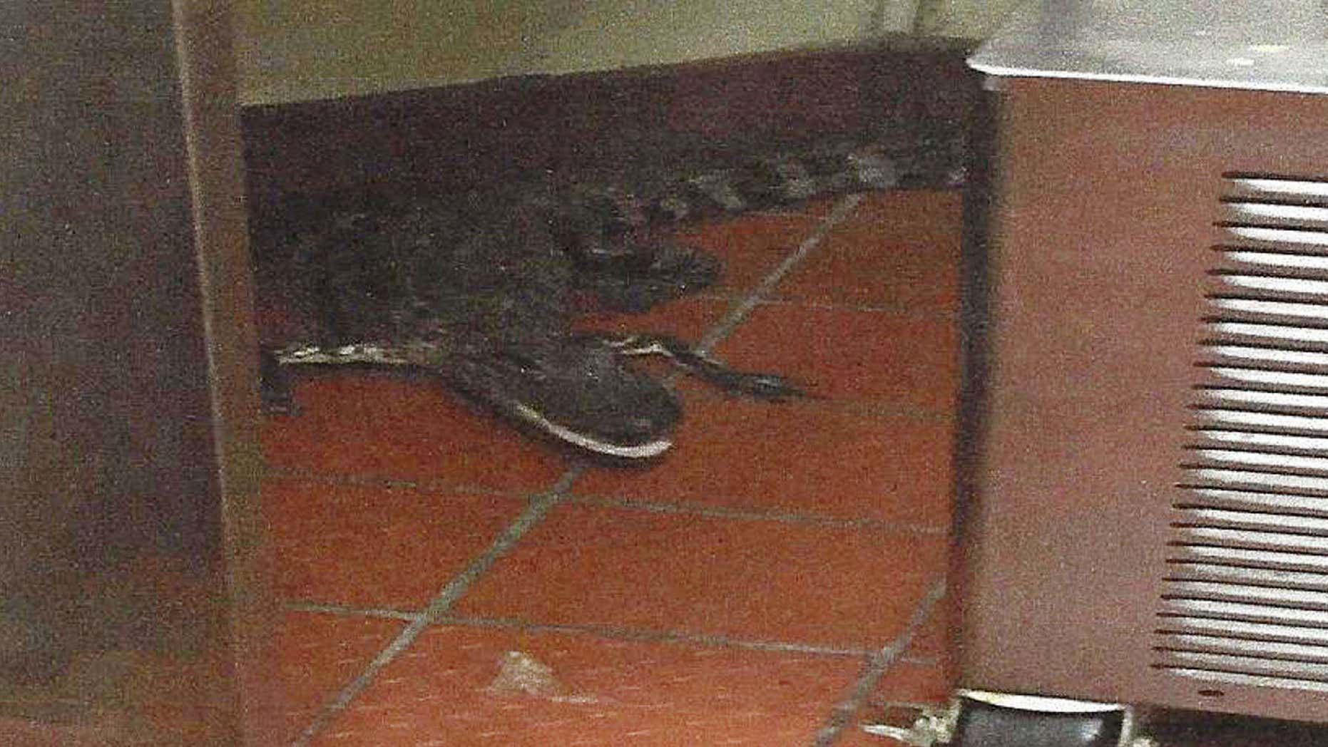 This Oct. 12, 2015 photo provided by the Florida Fish and Wildlife Conservation Commission shows an alligator in the kitchen of a Wendy's Restaurant in Loxahatchee, Fla.