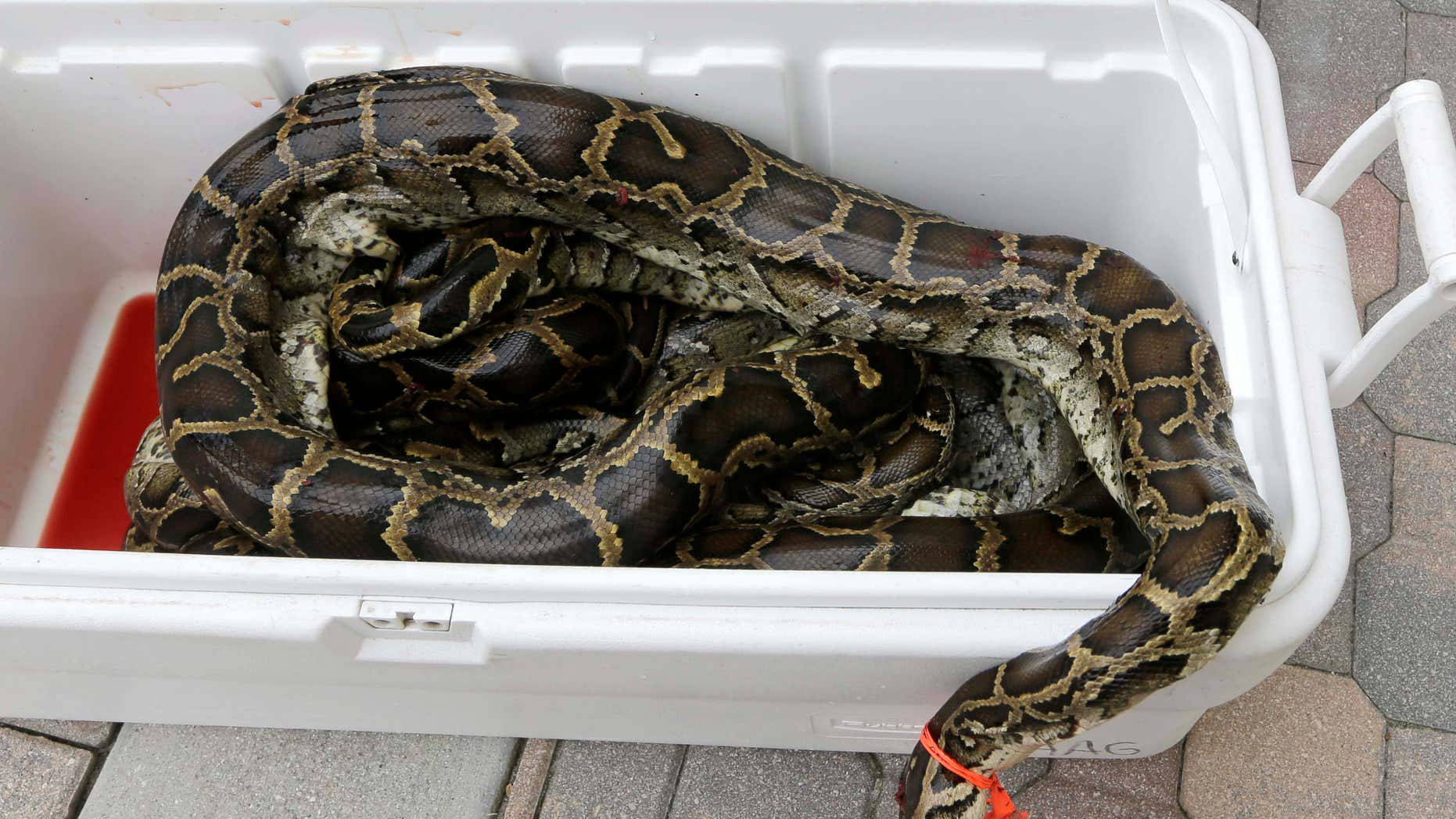 In this photo taken Tuesday, Feb. 23, 2016, a cooler with purchased pythons arrive at All American Gator Products in Hollywood, Fla..