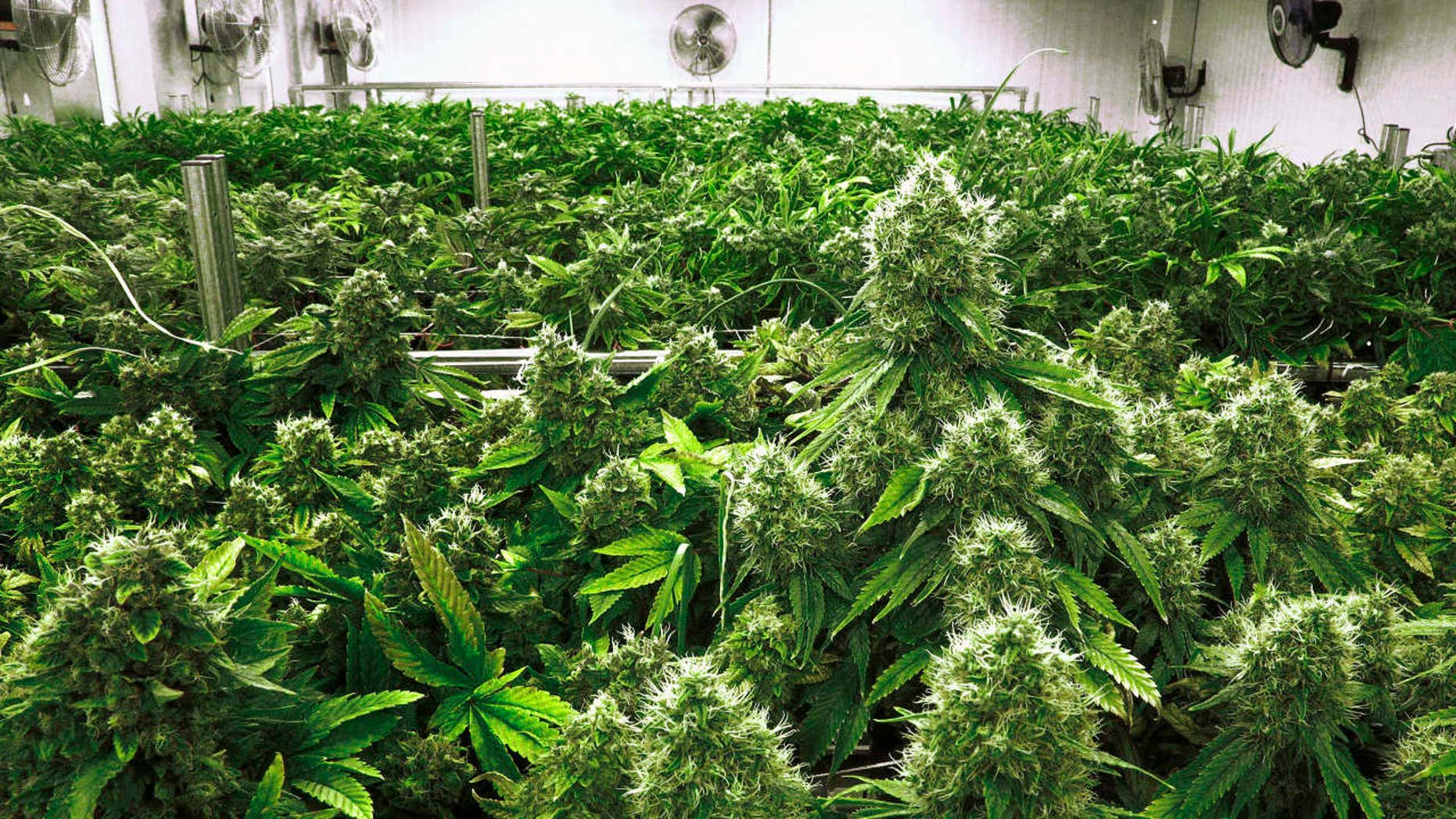 """ILE - In this Sept. 15, 2015 file photo, marijuana plants are a few weeks away from harvest in the """"Flower Room"""" at the Ataraxia medical marijuana cultivation center in Albion, Ill."""