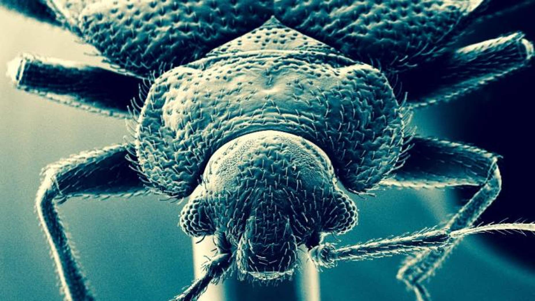 The common bed bug. (David Lilly)