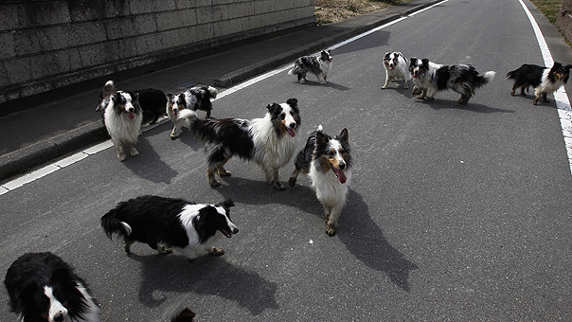 In this April 7, 2011 file photo, dogs wander around a town of Minami Soma, inside the deserted evacuation zone established for the 20 kilometer radius around the Fukushima Dai-ichi nuclear complex in northeastern Japan.
