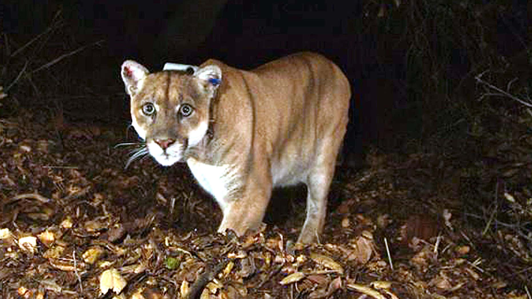 Nov. 2014: This file photo provided by the National Park Service shows the Griffith Park mountain lion known as P-22.
