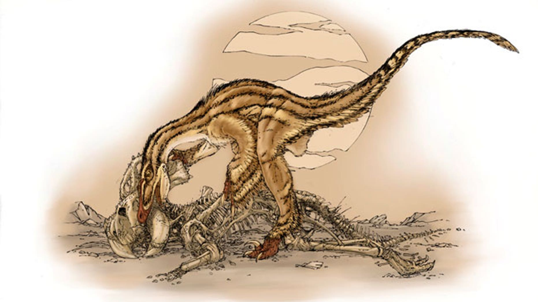 Fossils suggest a Velociraptor dinosaur apparently scavenged on the remains of a Protoceratops. The Velociraptor teeth matched the bite marks on the bones of Protoceratops.