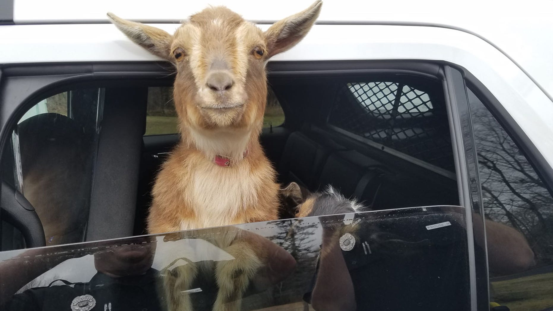 Sgt. Daniel Fitzpatrick of the Belfast Police Department in Belfast, Maine drives around with two lost goats in his police car on Sunday, April 23, 2017, looking for their owner.