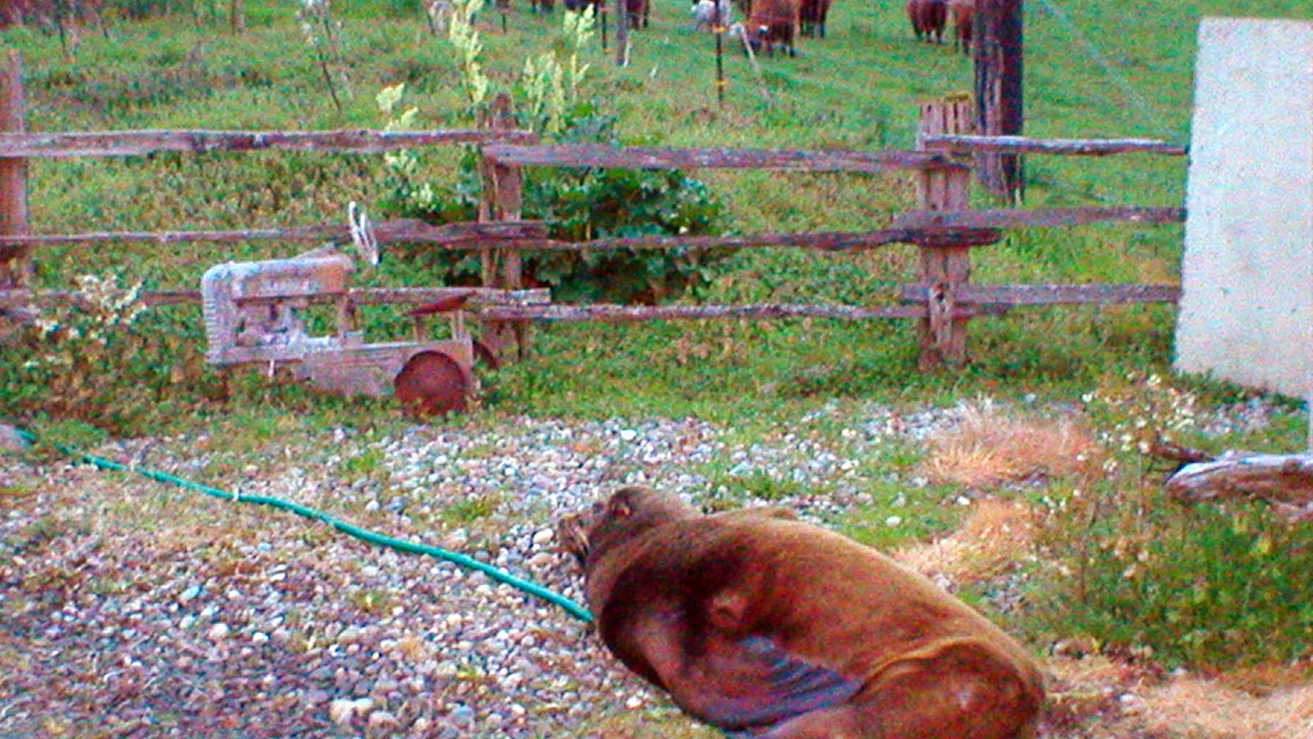 In this April 15, 2016, photo provided by the Washington Department of Fish and Wildlife, a wayward California sea lion sits in the driveway of the Soggy Bottom Farm near Oakville, Wash., about 50 miles from the ocean.
