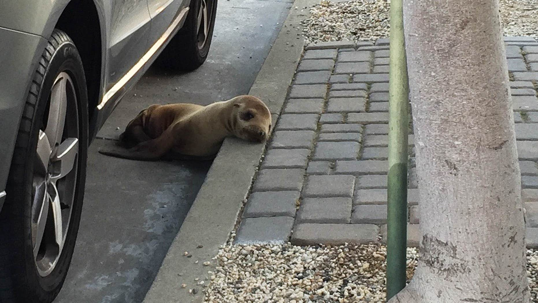 April 30, 2015: This photo provided by The Marine Mammal Center shows a stranded sea lion pup lying next to a car on a San Francisco street.