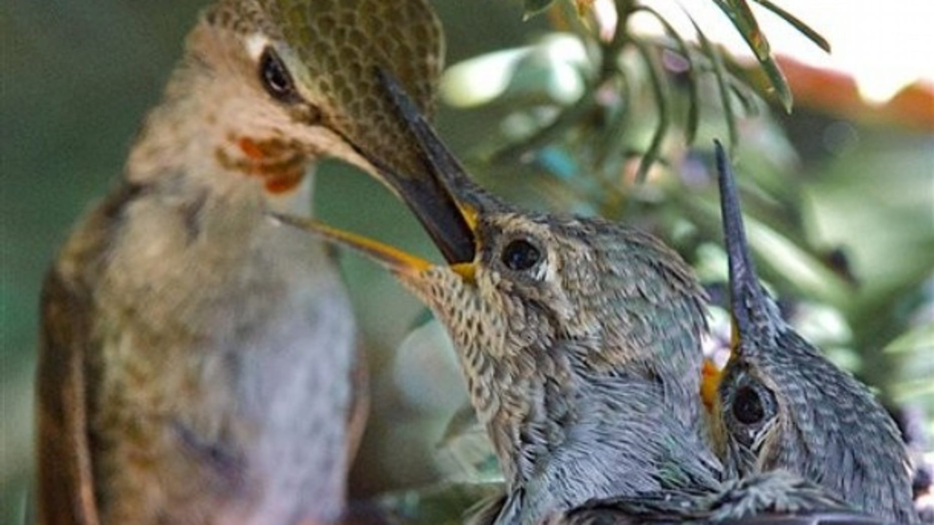 An anna's humming bird feeds her chicks in their nest in Benicia, Calif. (AP).