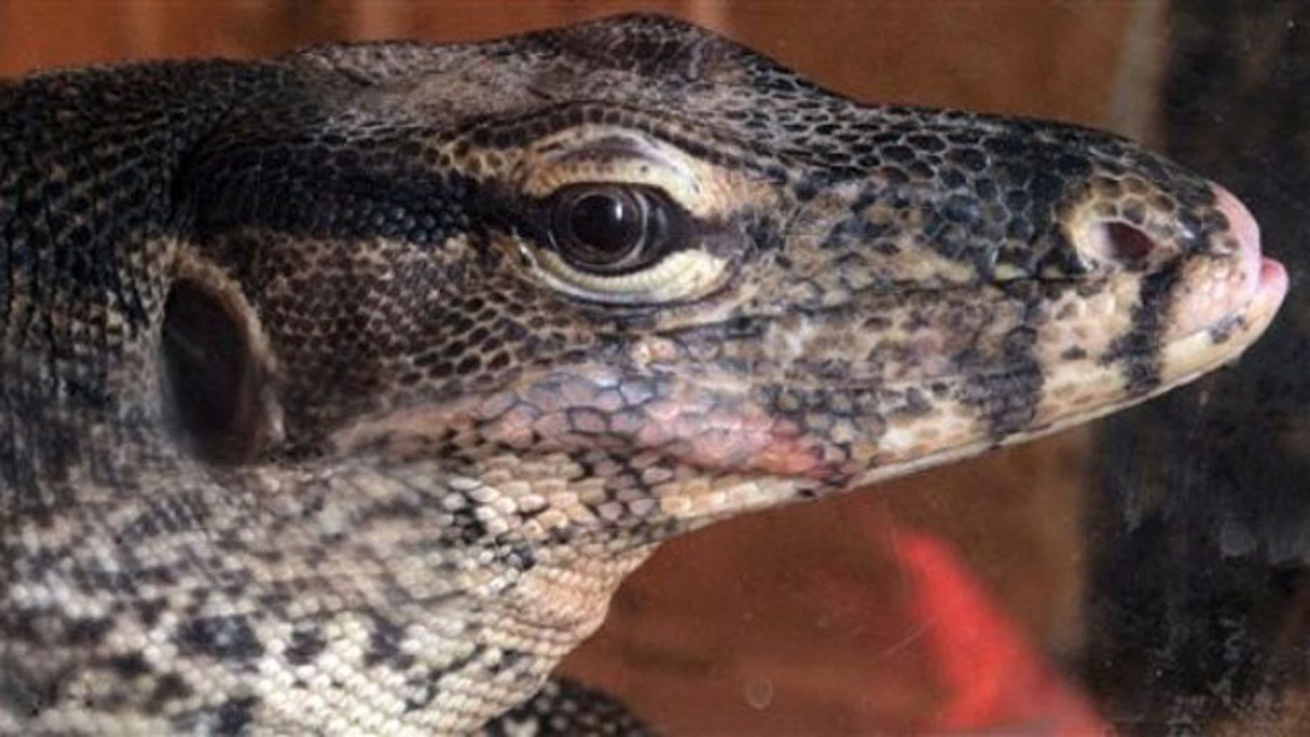 A monitor lizard (Varanus ) is displayed during a live exotic animal exhibition in the Bulgarian capital Sofia, Monday, April 19, 2010 (AP).
