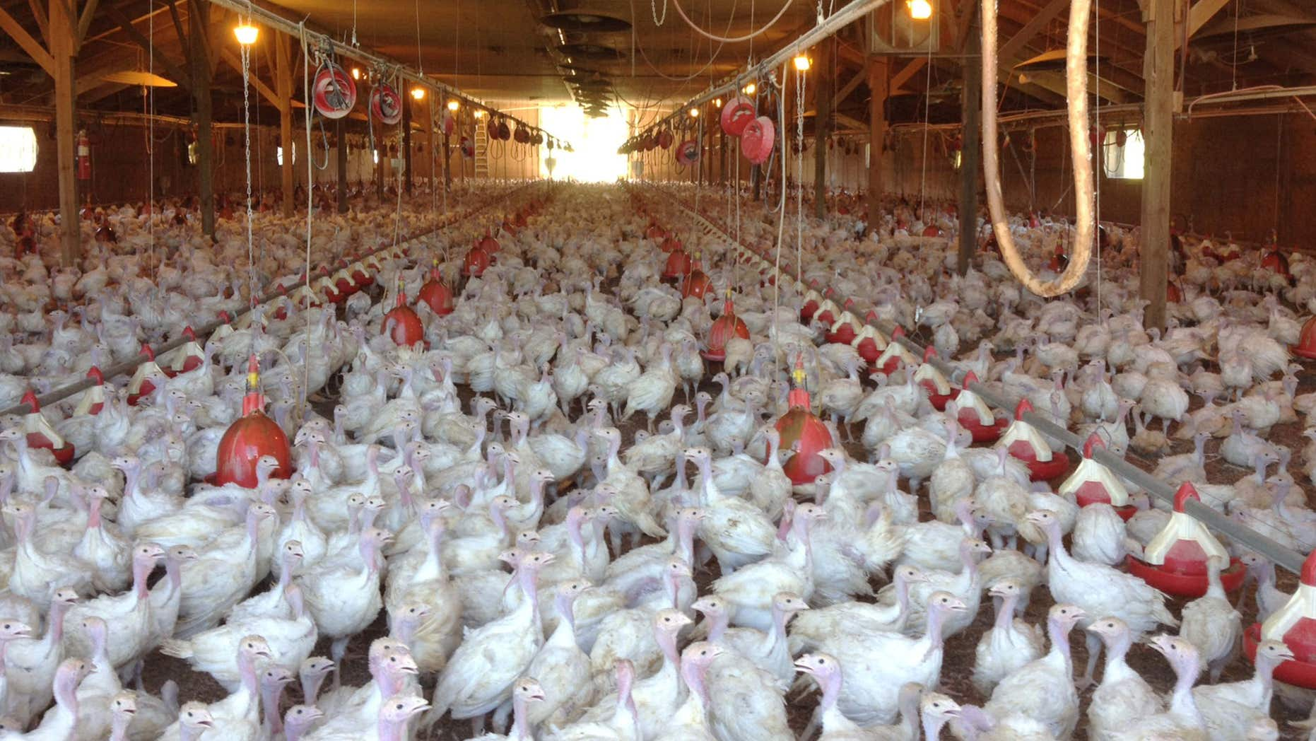 In this photo provided by Bethany Hahn is a flock of turkeys at a Minnesota poultry farm.