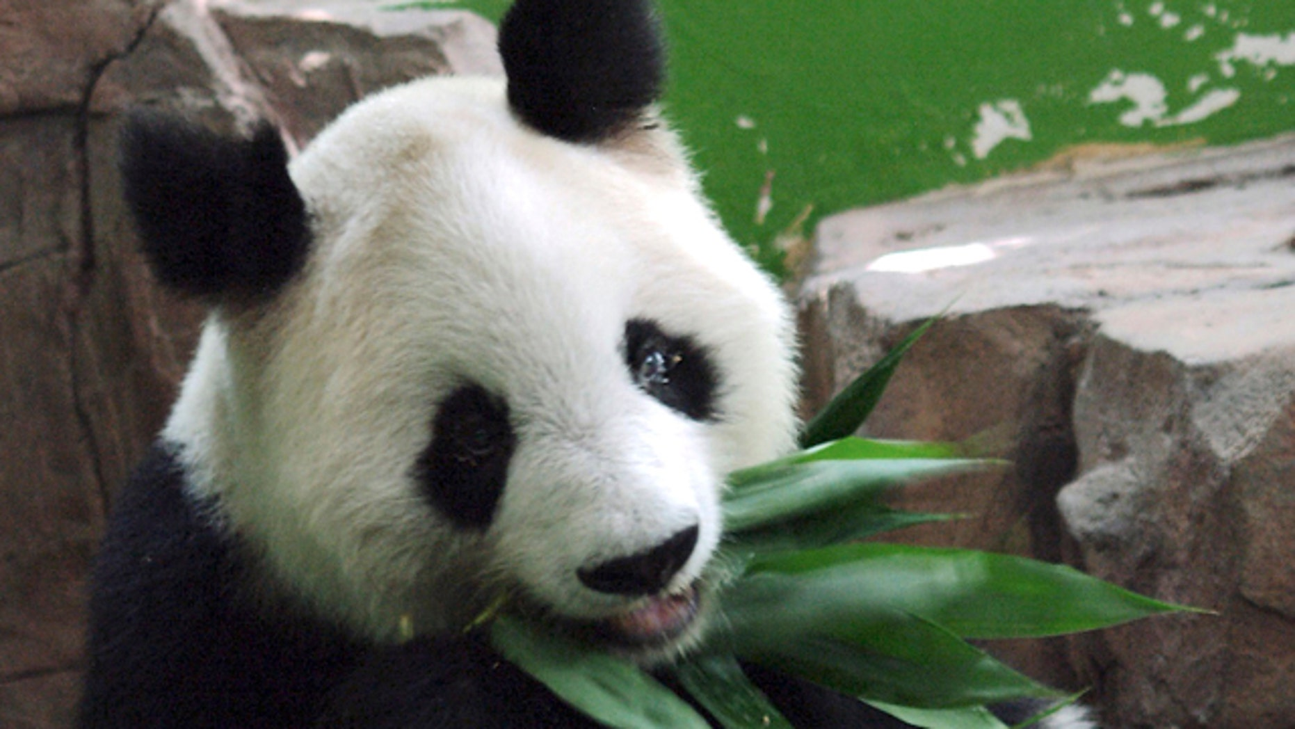 In this photo taken Aug. 21, 2009 and made available Tuesday May 17, 2011, Giant panda Ming Ming eats bamboo leaves at the Xiangjiang Safari Park in Panyu in Guangzhou in southern China's Guangdong province.