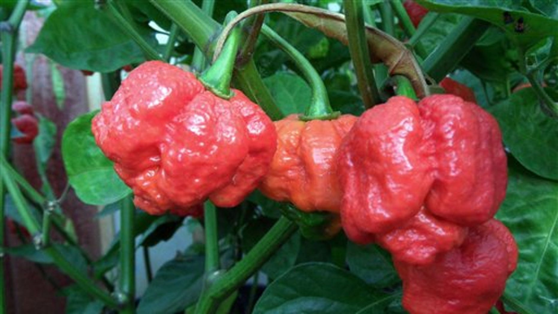 This undated image provided by New Mexico State University shows the Trinidad Moruga Scorpion, the new hottest pepper on the planet, as identified by NMSU's Chile Pepper Institute.
