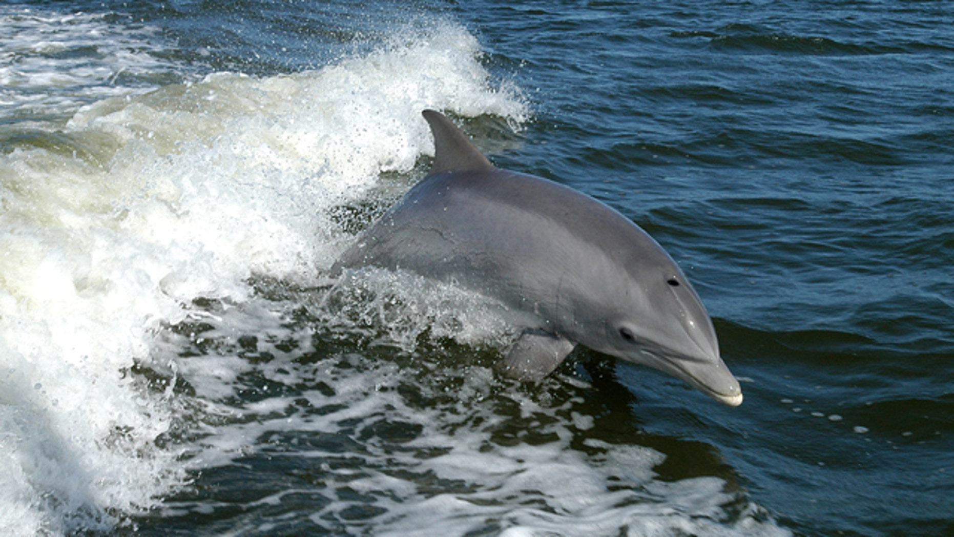 A bottlenose dolphin leaps near a research boat.