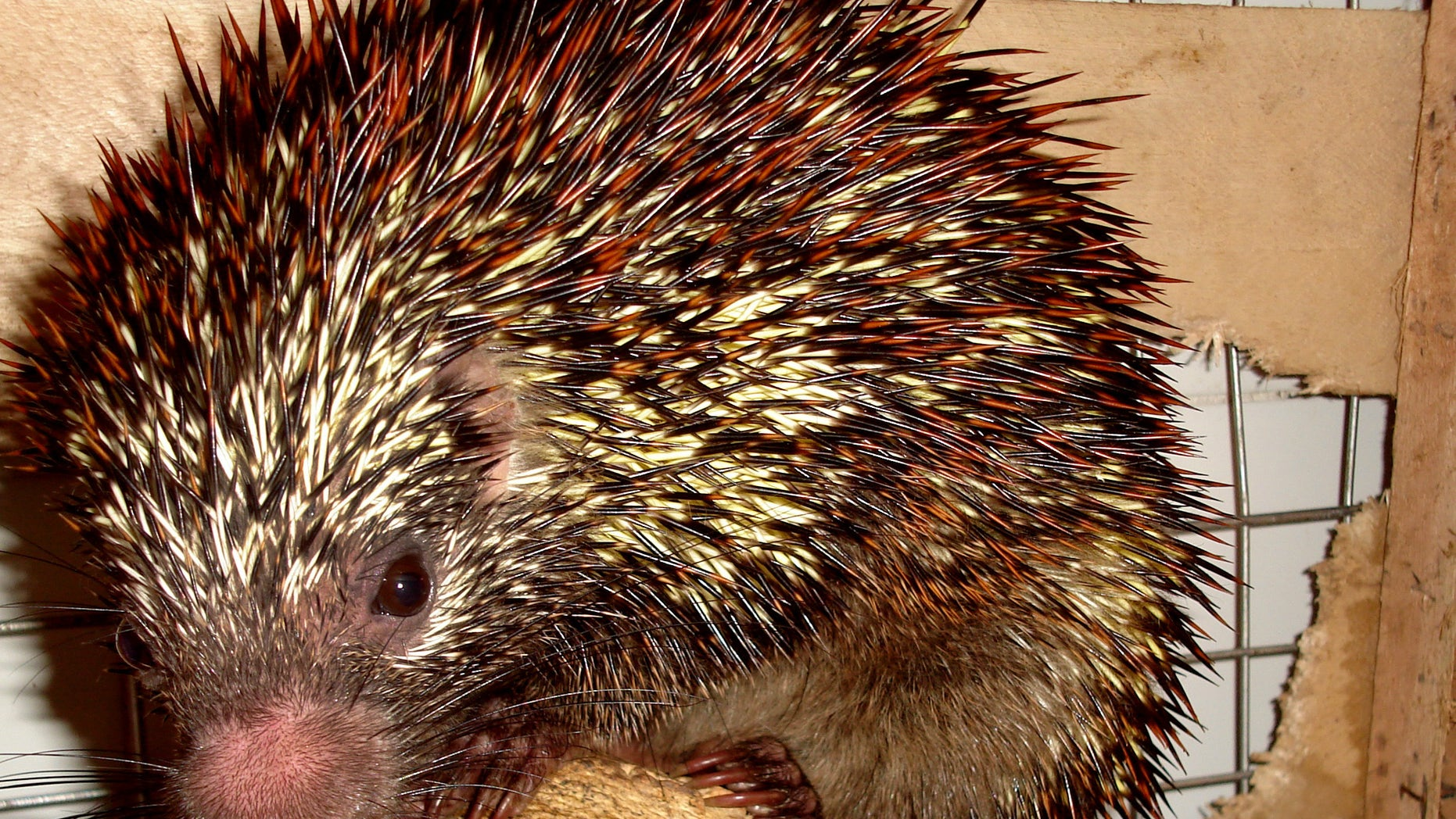 "This March 15, 2009 photo released on April 10, 2013 by Universidade Federal de Pernambuco, shows a new species of the porcupine ""Coendou speratus,"" in Pernambuco, Brazil. Brazilian researchers say they found the tree-dwelling rodent in a small and isolated fragment patch of forest in the northeastern state of Pernambuco. With just 2 % of the region's original forest habitat still standing, the new porcupine must be considered to be endangered said Antonio Rossano Mendes, a zoology professor at the Federal University of Pernambuco and part of the team who discovered the new species. (AP Photo/Universidade Federal de Pernambuco, Antonio Rossano Mendes)"