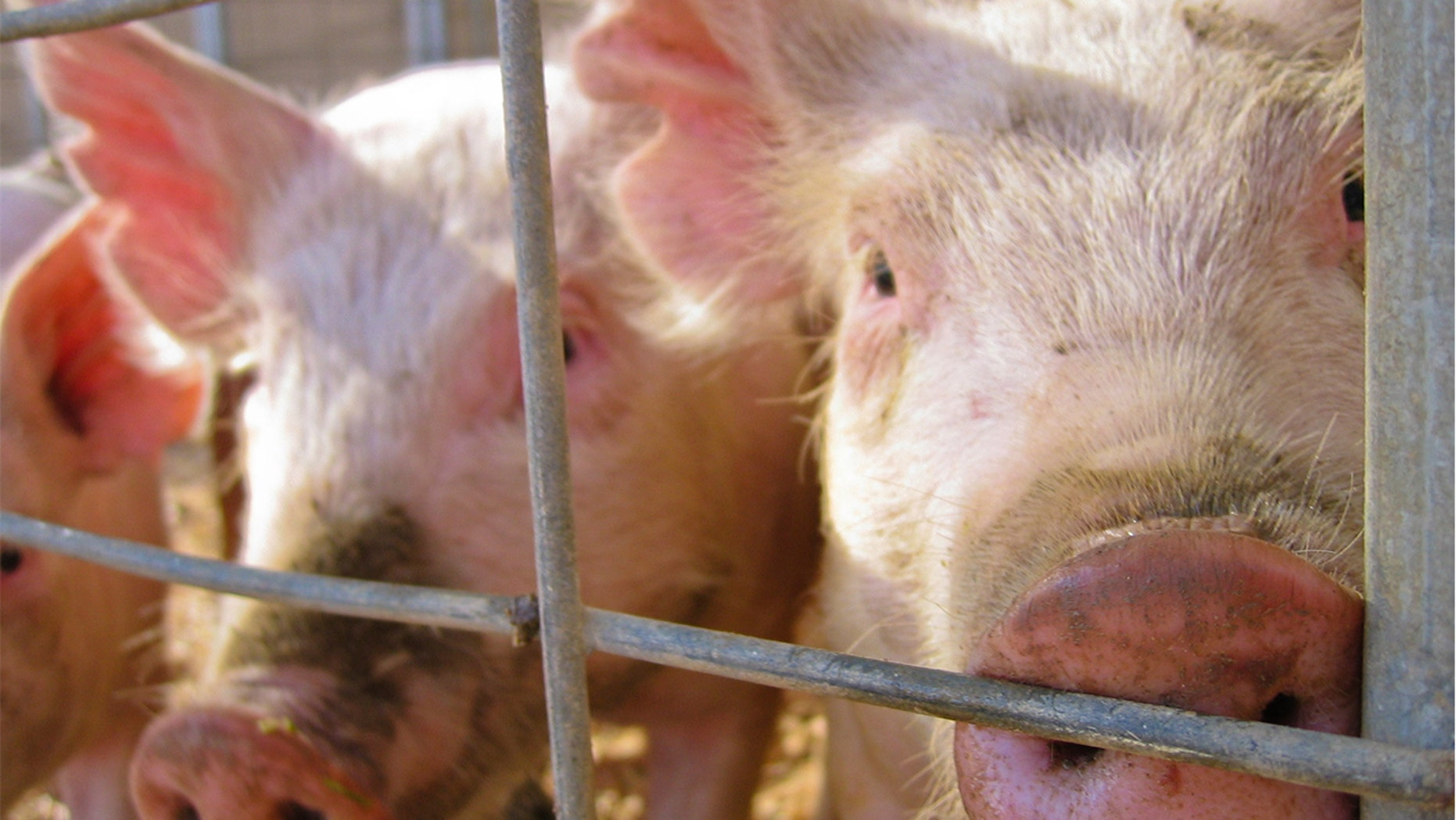 Two children contracted a rare strain of flu after interacting with pigs at a Michigan county fair.