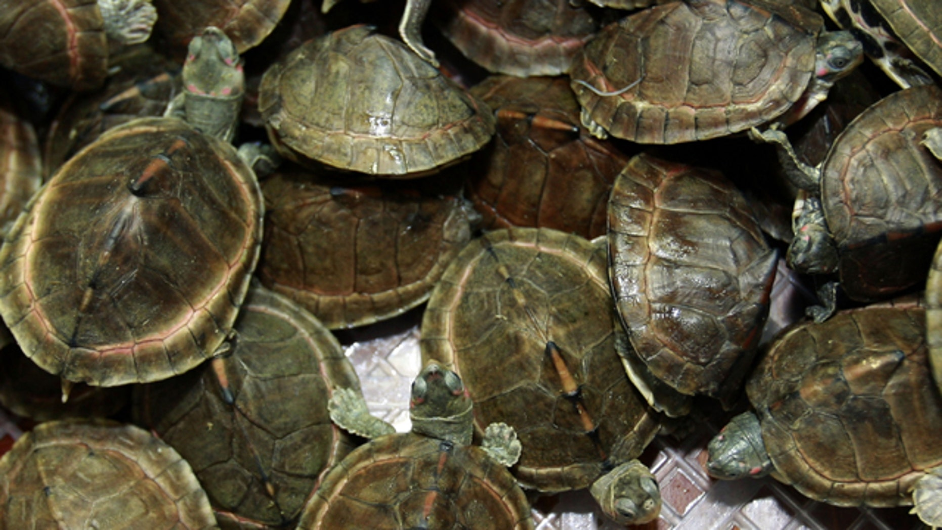 June 2: Mud turtles crawl inside a basket as they are shown to the press during a news conference by Thai customs in Bangkok, Thailand.