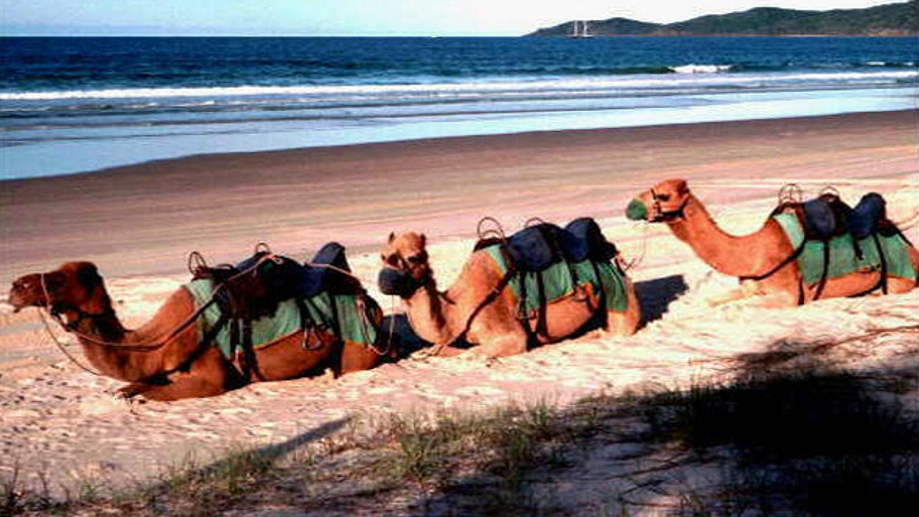 Camels sit on beach at Noosa, Queensland, Australia.