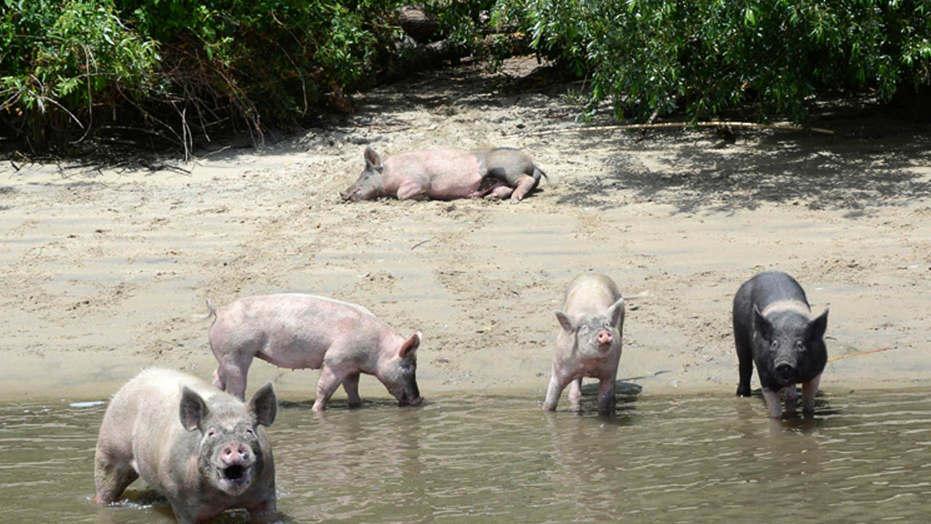This Tuesday, June 13, 2017, photo provided by the Farm Sanctuary shows several pigs that were left four years ago on a small island within the California Delta that have become the center of residents' debate after an animal-rights group took them off the island.