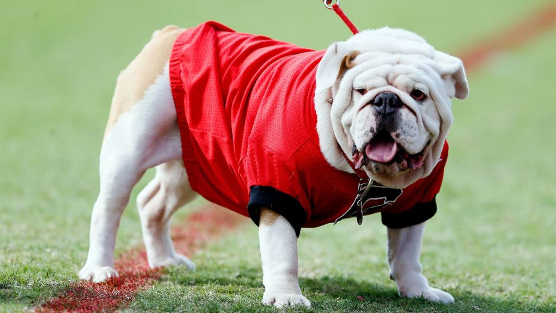 ATHENS, GA - OCTOBER 12: UGA IX, mascot of the Georgia Bulldogs, looks on during the game against the Missouri Tigers at Sanford Stadium on October 12, 2013 in Athens, Georgia. (Photo by Kevin C. Cox/Getty Images)
