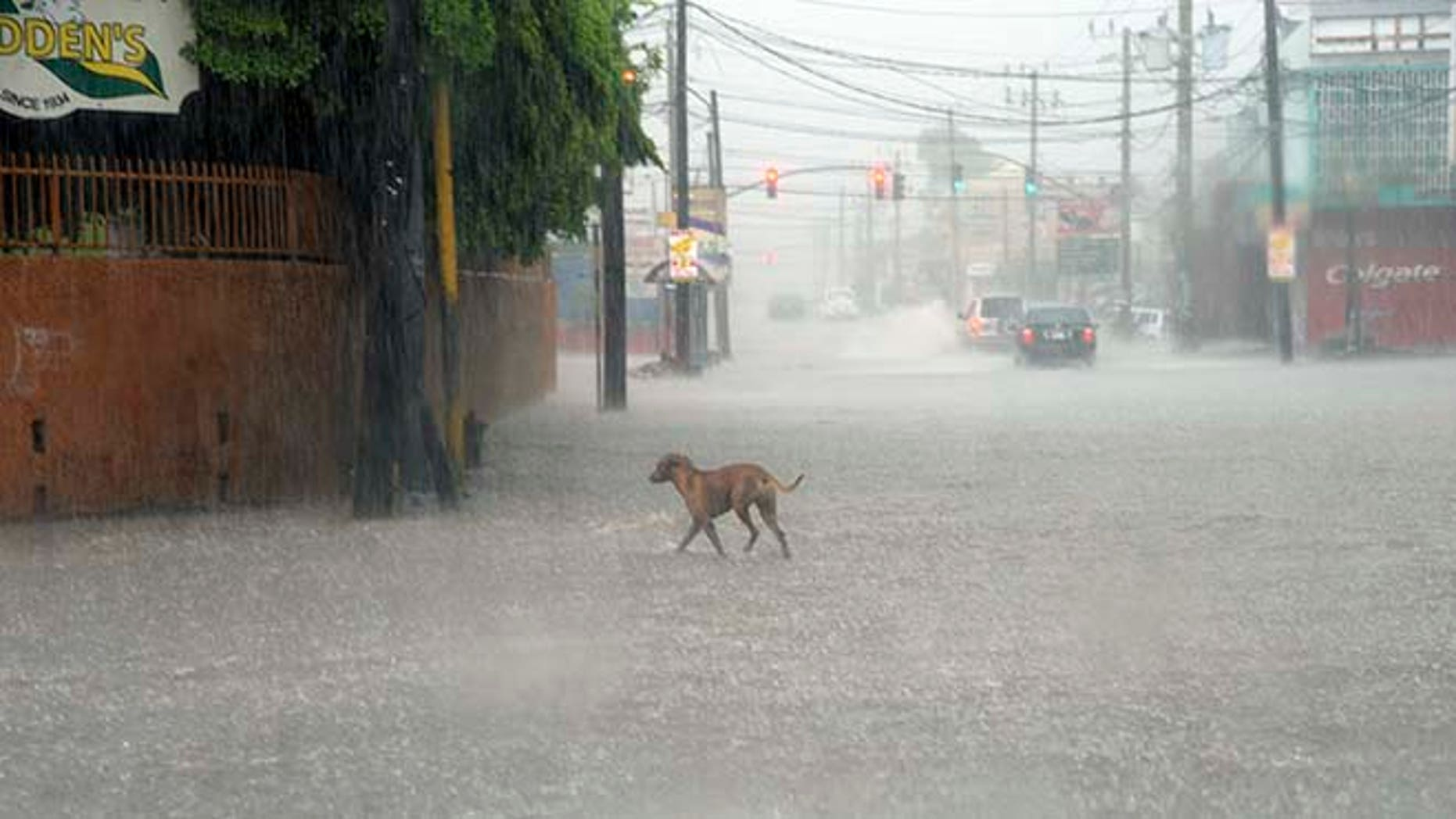 A dog crosses a street under heavy rain in downtown Kingston, Jamaica, Sunday Oct. 2 , 2016.