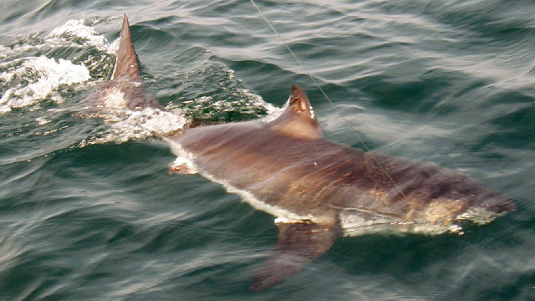 June 26: A juvenile great white shark swims in the Atlantic Ocean about 20 miles off the coast of Gloucester, Mass., in the rich fishing ground known as Stellwagen Bank. The shark was pulled up by Gloucester-based Sweet Dream III, tagged, and returned to the sea.