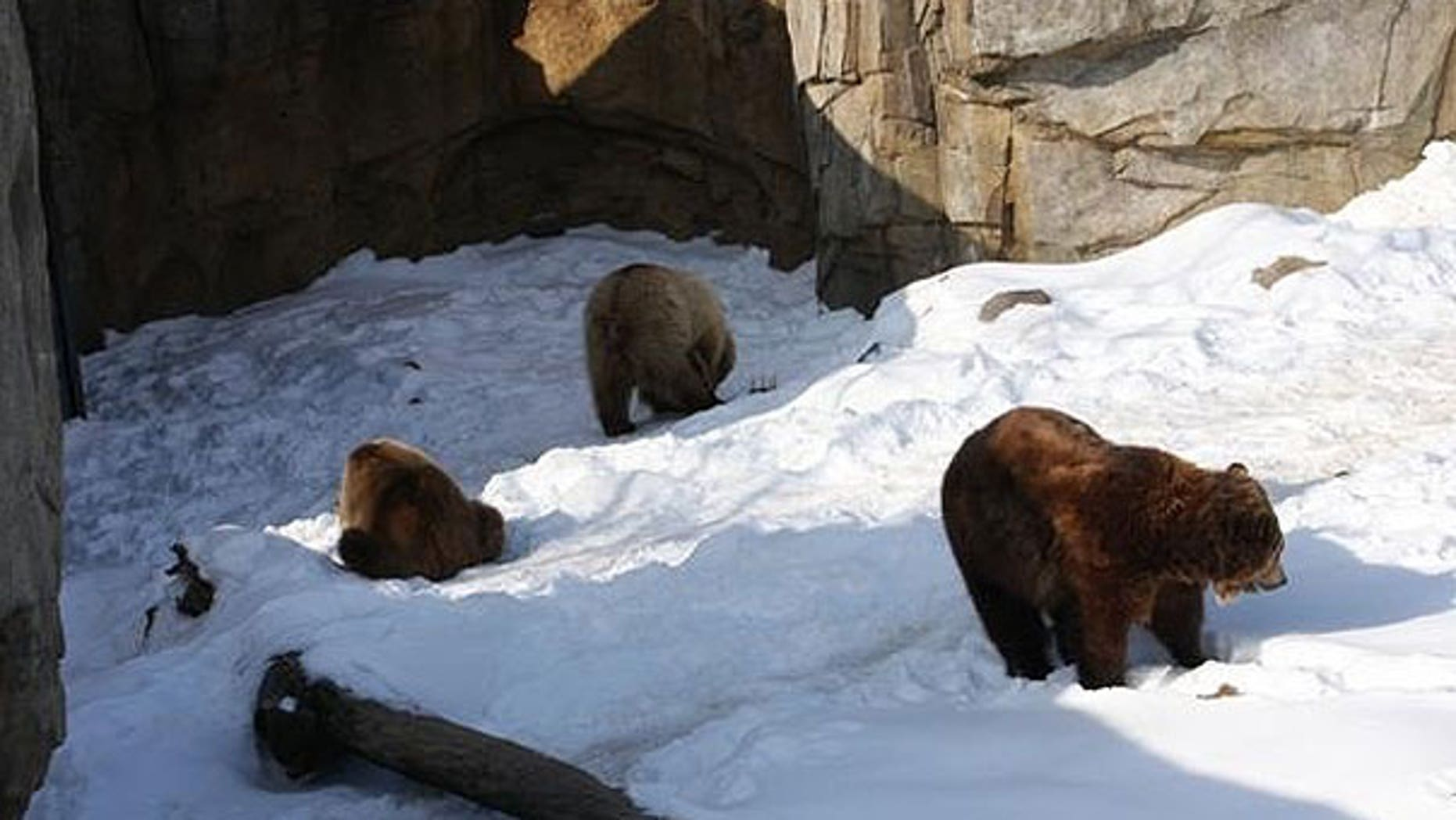 The three birthday bears in their exhibit at the Minnesota Zoo in Apple Valley.