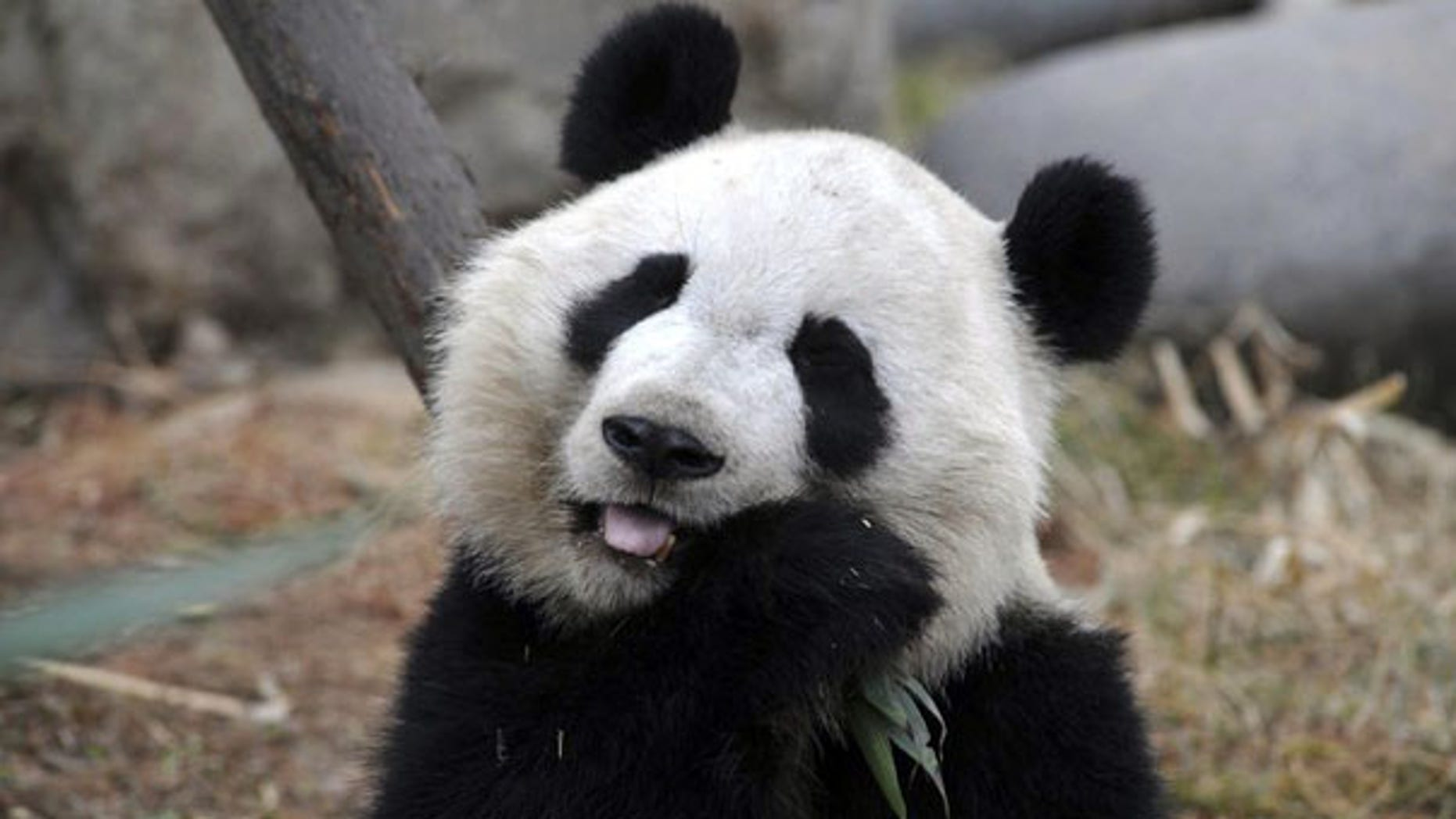 March 15: A giant panda munches on bamboo at panda breeding center in China.