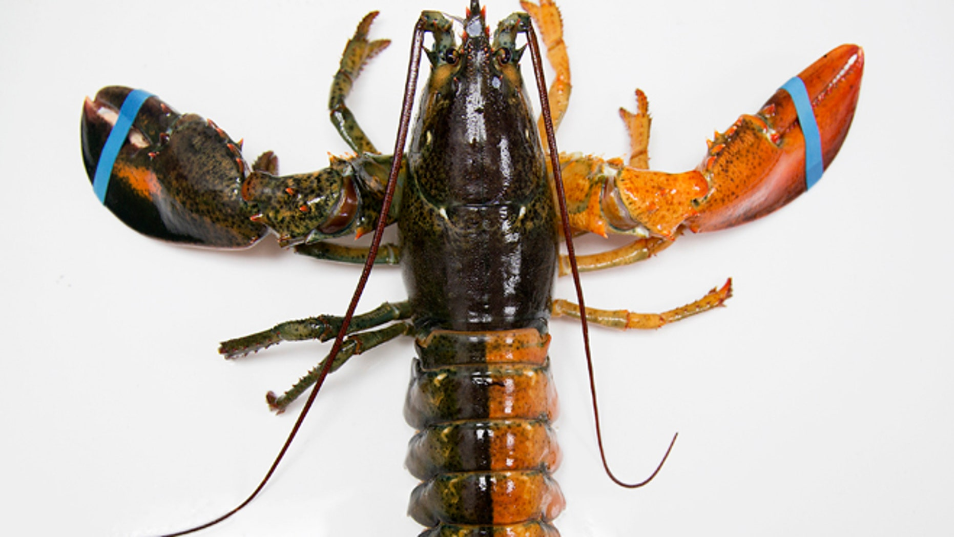 July 6, 2015: Photo shows a rare orange-brown split colored lobster that arrived recently at the Pine Point Fisherman's Co-Op in Scarborough, Me.