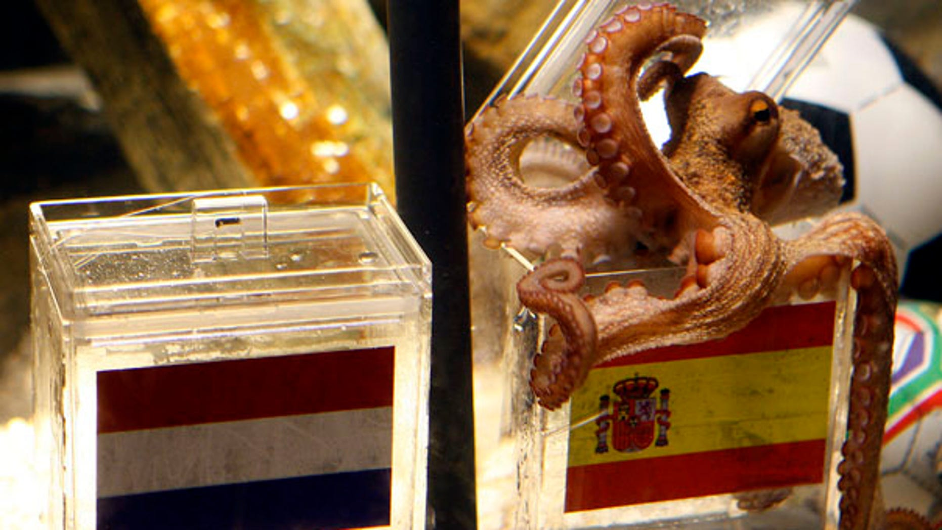 Octopus oracle Paul chooses a mussel from a glass tank marked with a Spanish flag, next to a box with a flag of Holland, in the SeaLife Aquarium in Oberhausen, Germany, Friday, July 9, 2010. Paul predicts Spain will beat Holland and win the World Cup. (AP Photo/dapd, Roberto Pfeil)