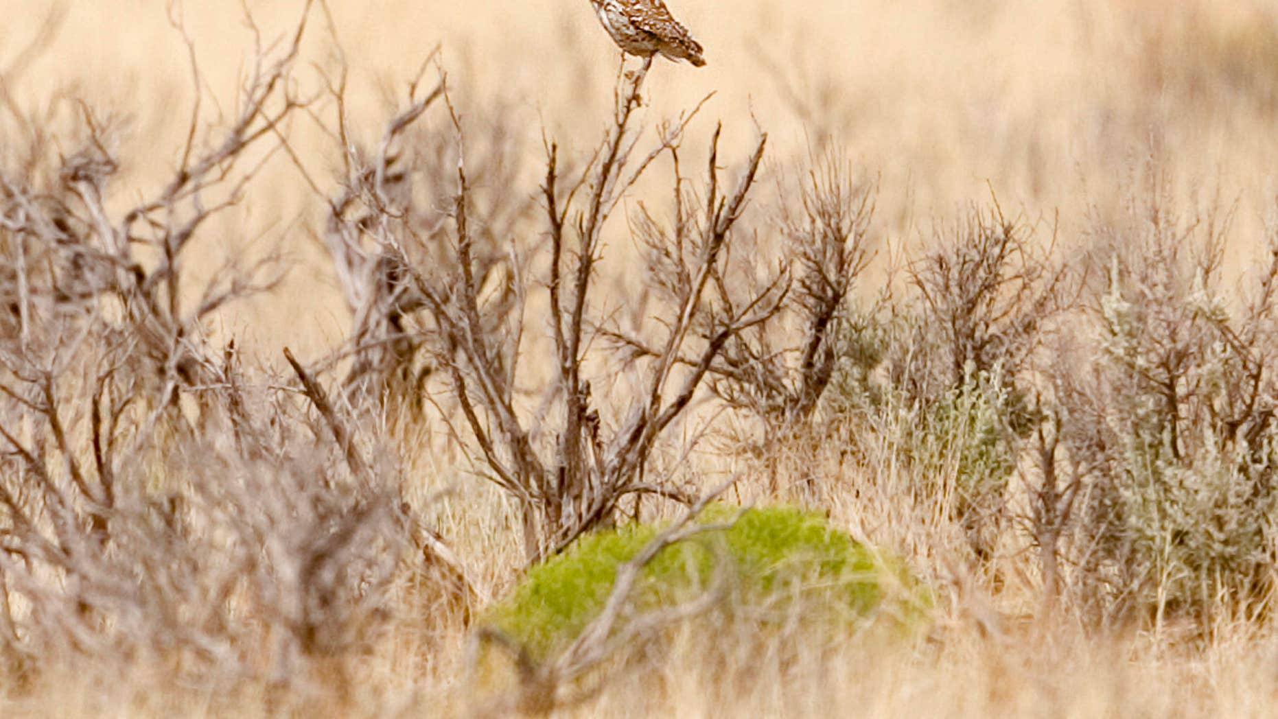FILE - In this July 23, 2004 file photo, a burrowing owl perches on a bush near Angel Peak outside Bloomfield, N.M.