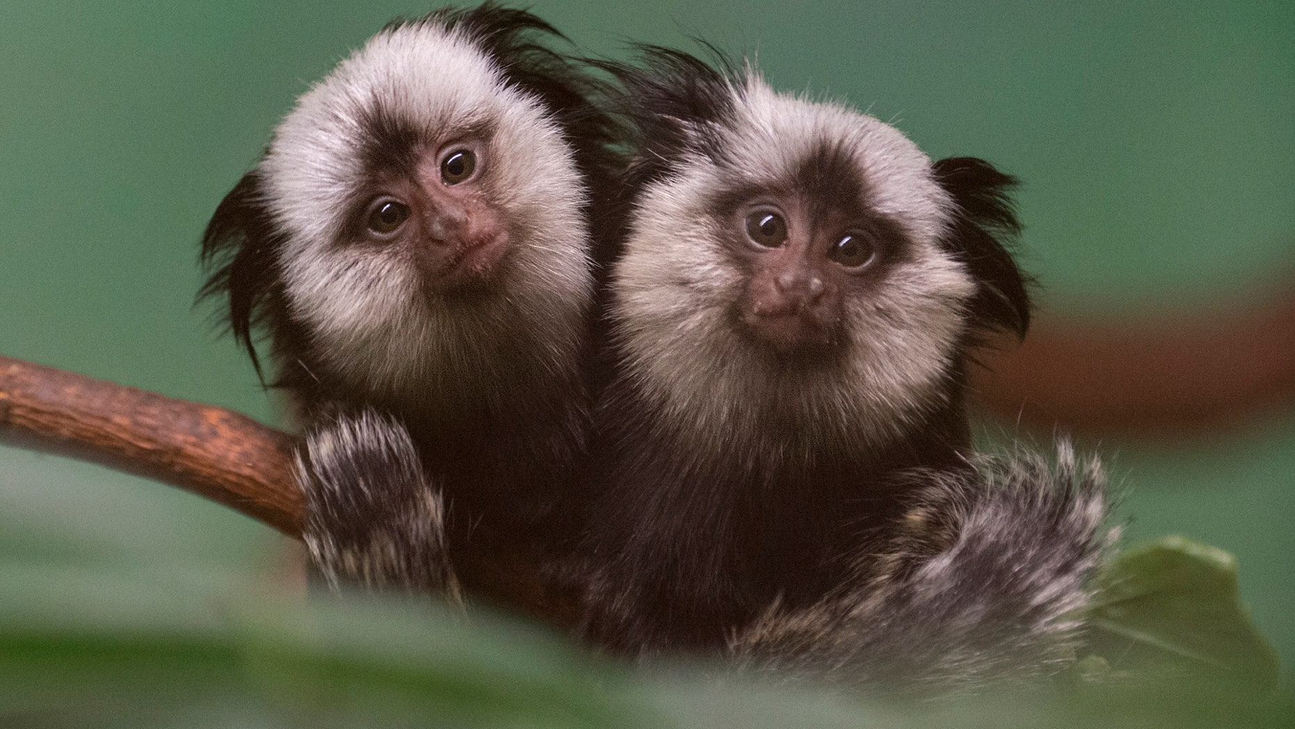 """In this Jan. 16, 2014 photo provided by the Wildlife Conservation Society, twin, juvenile Geoffroy's marmosets cling to a branch at the Prospect Park Zoo in New York. Also known as """"white-fronted marmosets,"""" Geoffroy's marmosets are native to small parts of the Atlantic rainforest in eastern Brazil. (AP Photo/Wildlife Conservation Society, Julie Larsen Maher)"""