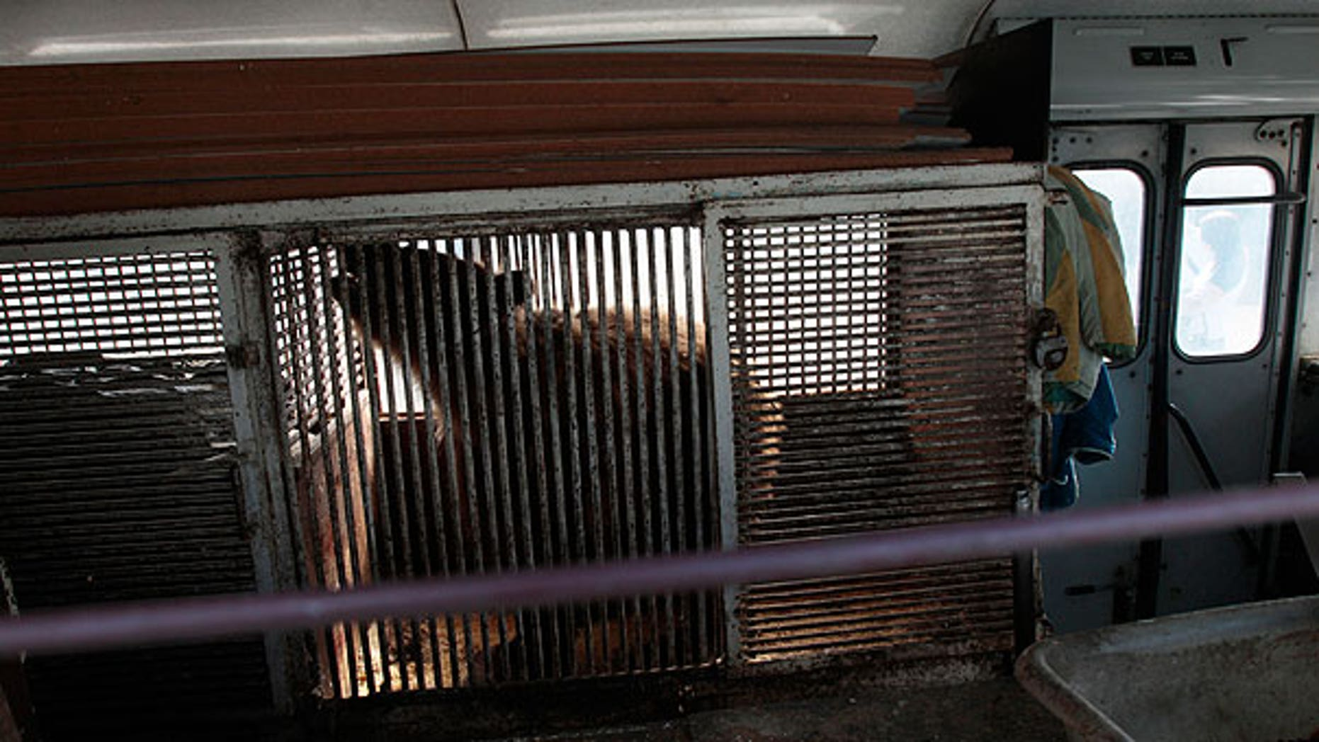 In this photo made Thursday, July 14, 2011, Katya, a 36-year-old bear, moves uneasily in her cage placed inside a bus that stands at a parking lot in St.Petersburg, Russia.