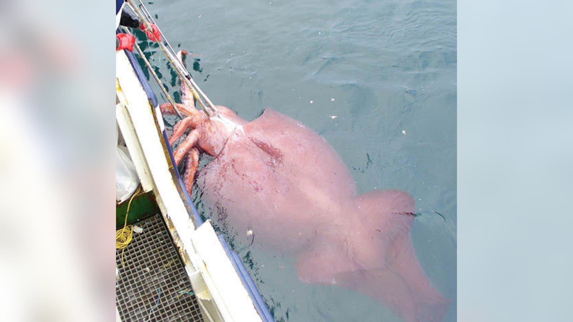 True to its name, the colossal squid is a pretty big squid. It is thought to be the largest invertebrate, measuring 39–46 feet long. It also has the largest eyes of any animal.