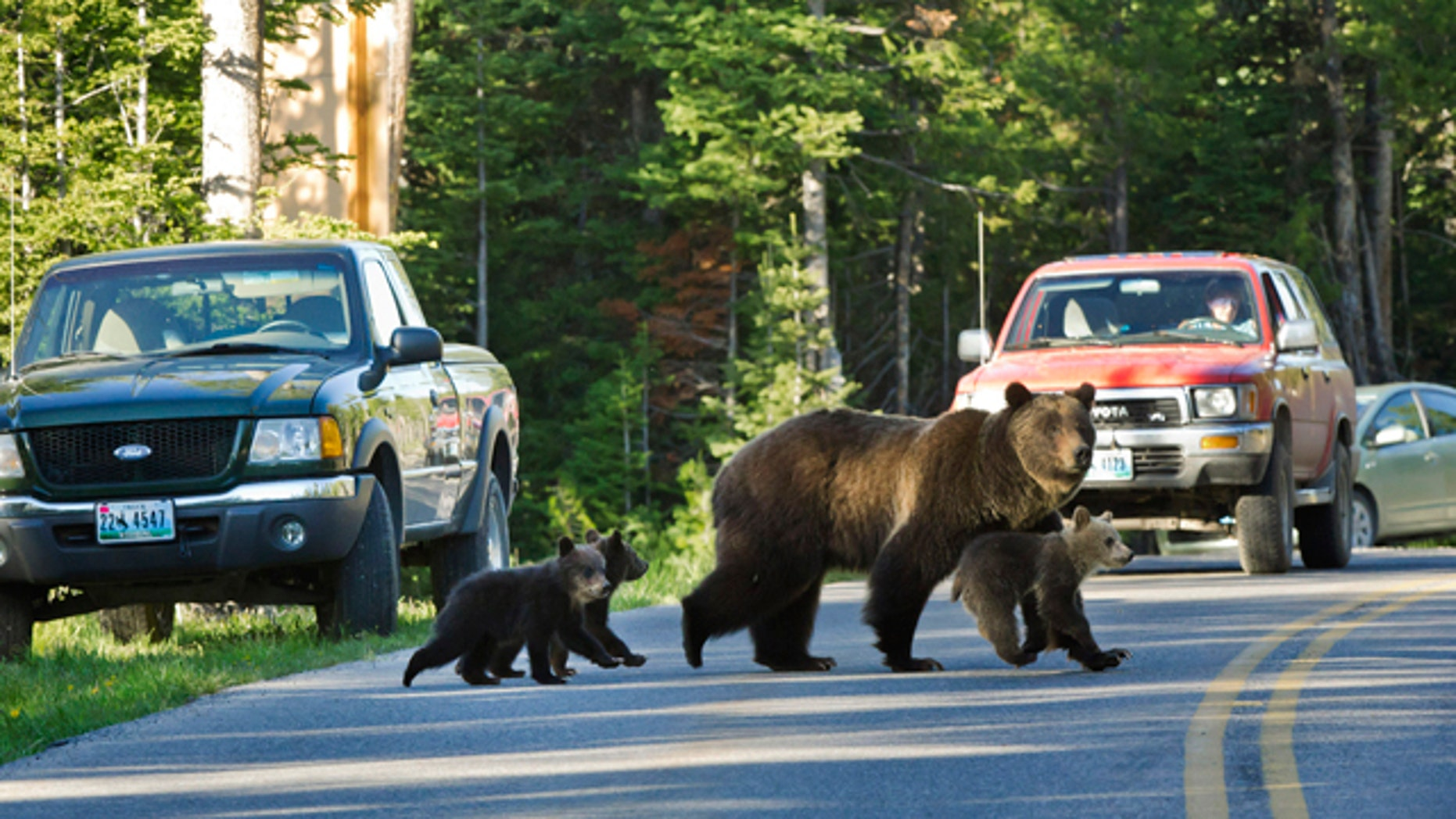 FILE - This June 2011 file photo shows Grizzly bear No. 399 crossing a road in Grand Teton National Park, Wyo., with her three cubs. Grand Teton National Park is tightening its rules against getting too close to wildlife after two incidents in which a bear charged people as they stood on their cars. The new rules say when a ranger tells people to back away from wildlife, they must listen. (AP photo/Tom Mangelsen, File)