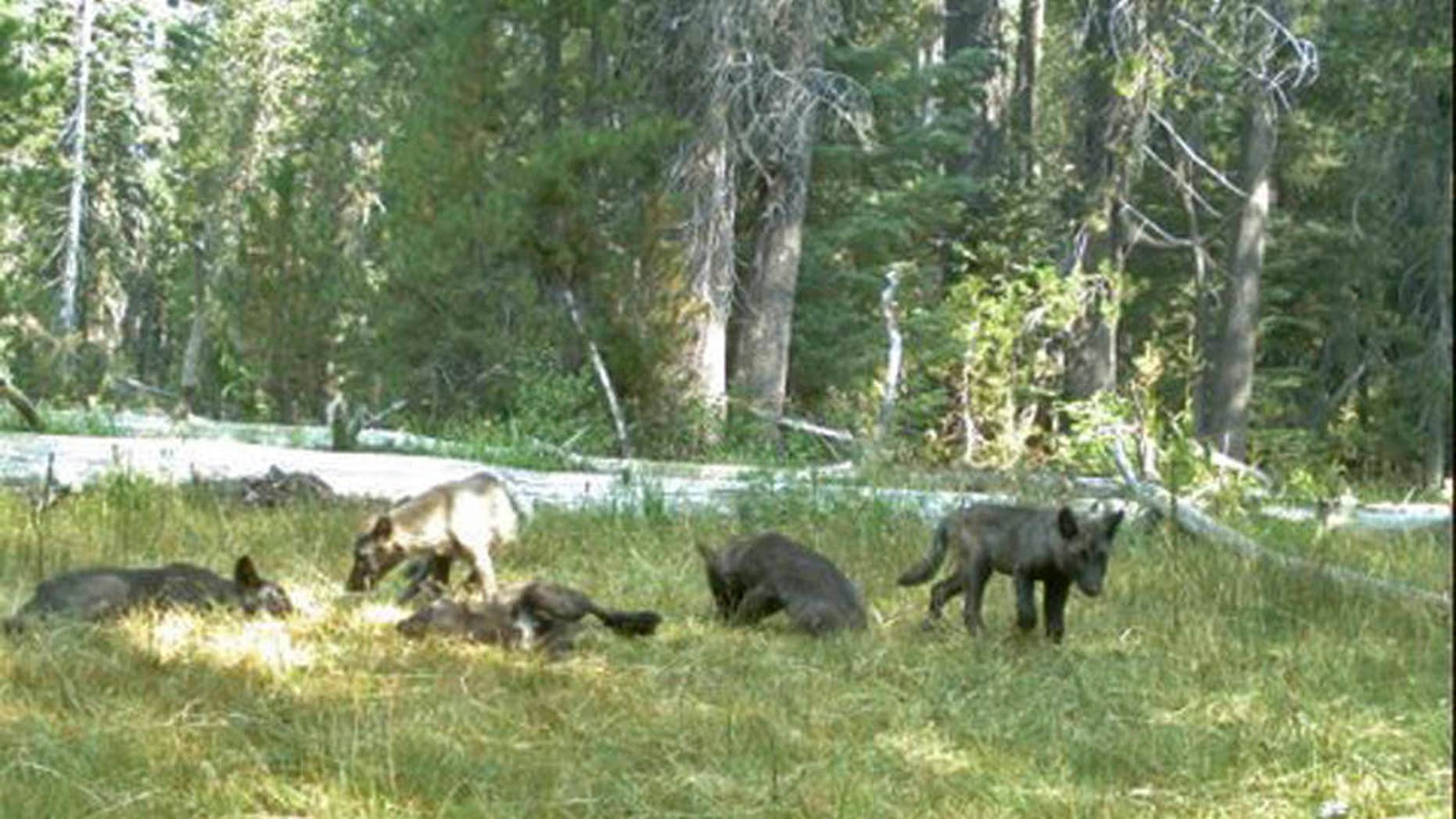 Aug. 9, 2015: image from video released by the California Dept. of Fish and Wildlife shows evidence of five gray wolf pups and two adults in Northern California.