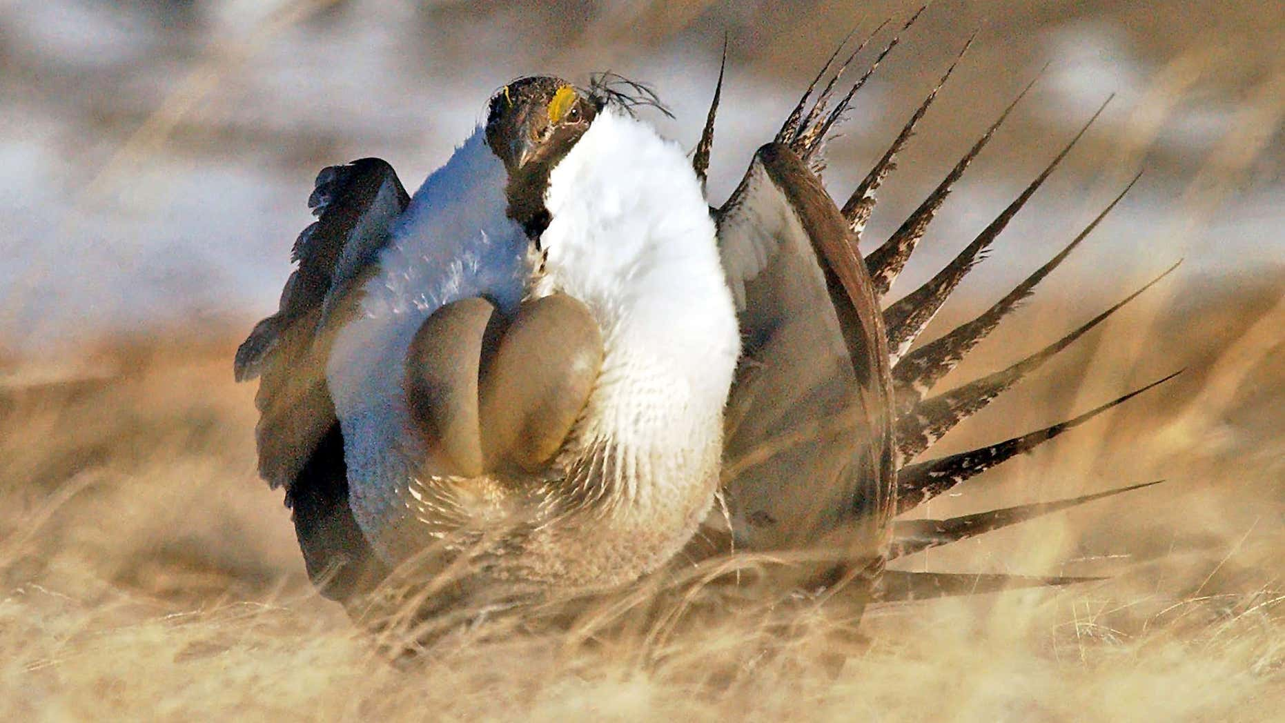 "April 15, 2008: A male sage grouse performs his ""strut"" near Rawlins, Wyo."