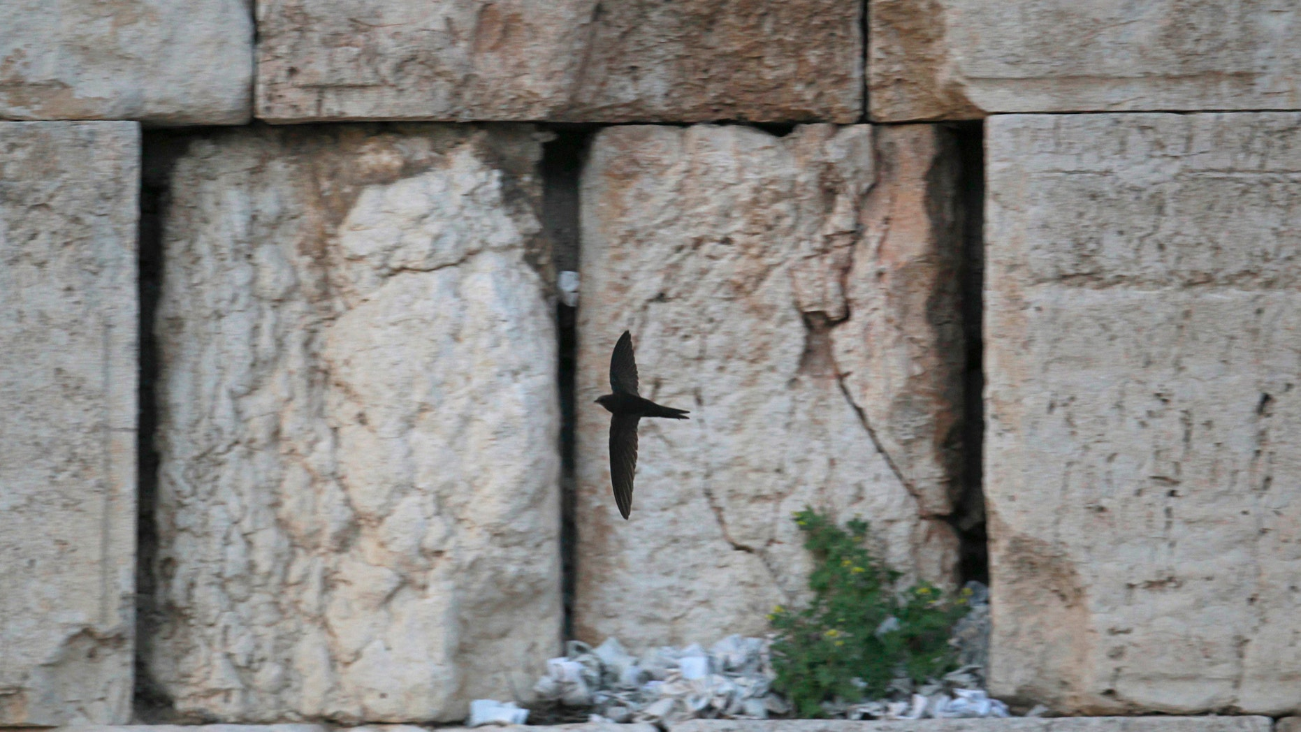 File photo - A swift flies past notes placed in the cracks of the Western Wall, Judaism's holiest prayer site, in Jerusalem's Old City March 11, 2012. (REUTERS/Ronen Zvulun)