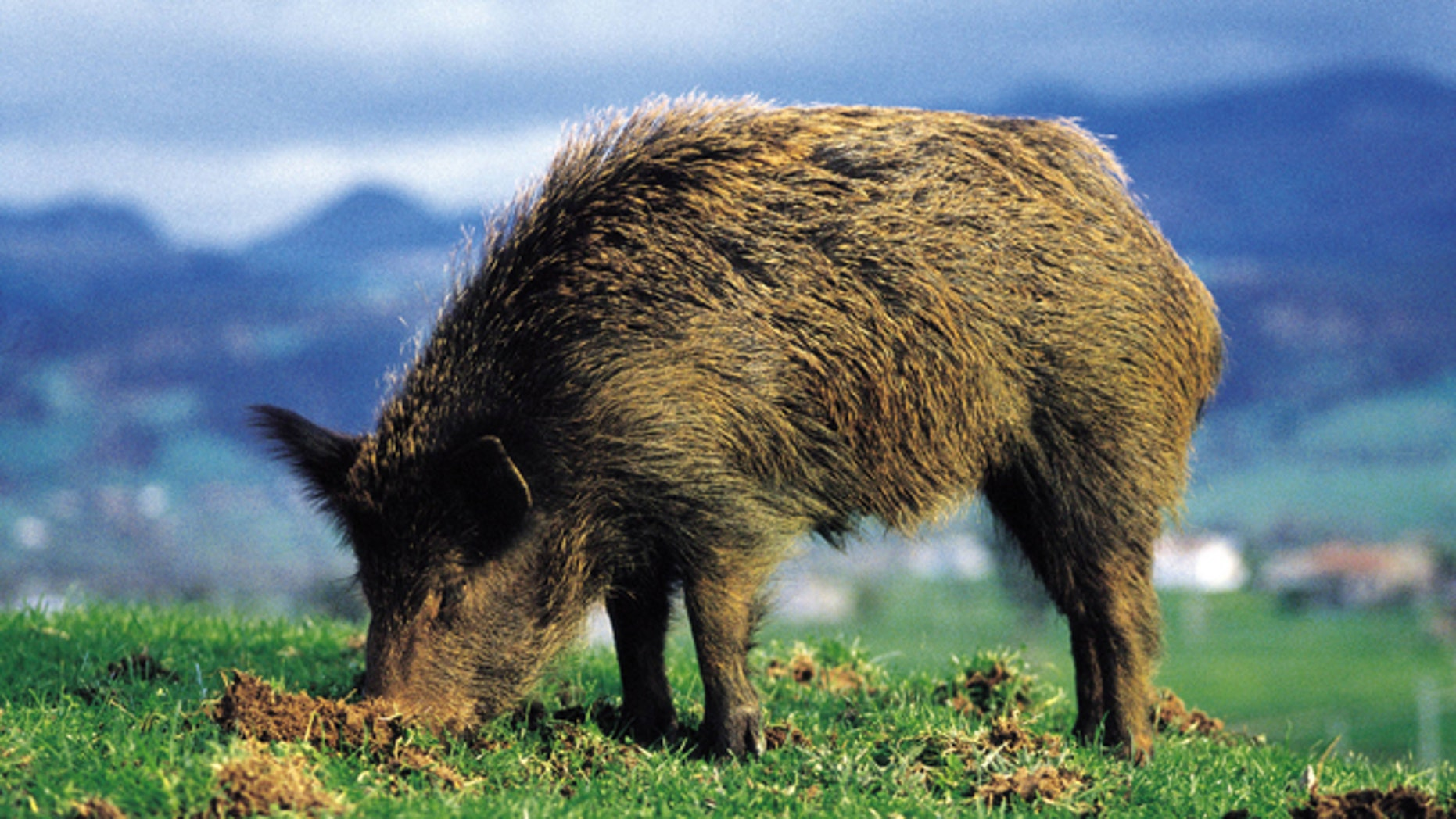 Boar eating Boar eating, Saja Hunt National Reserve  (Photo by Rafa Samano/Cover/Getty Images)