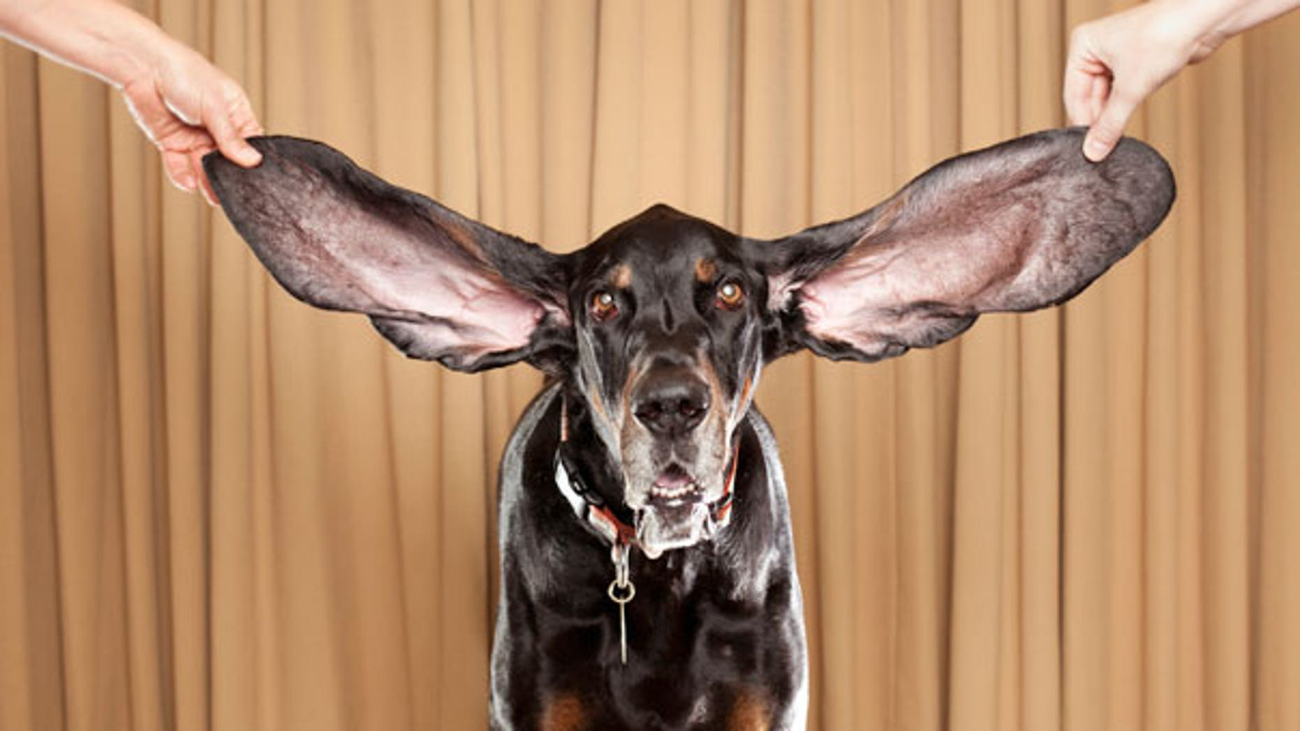 This photo taken Oct. 10, 2010, shows Harbor, an 8 year old coonhound from Bolder, Co., displaying his ears after winning a Guinness World Record title.