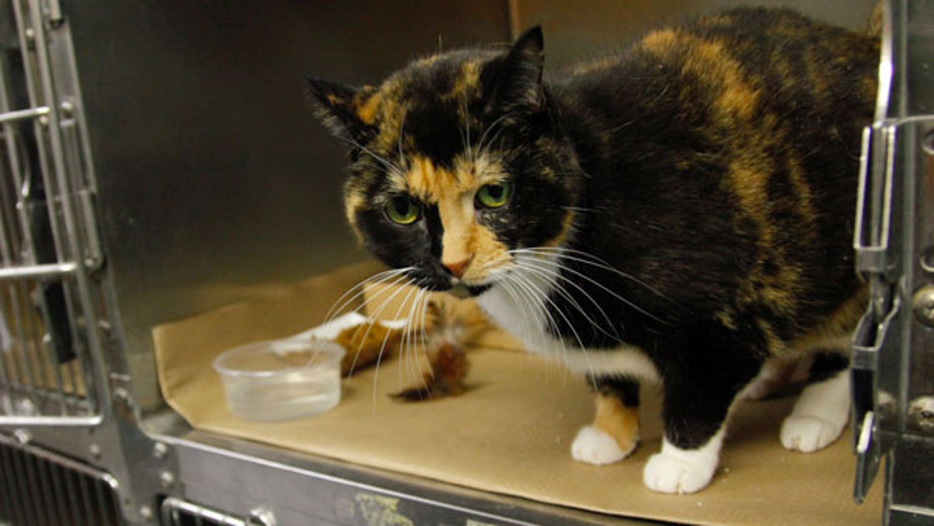 Sept. 14: Willow, a 6-year calico cat that went missing from her Colorado home during a renovation 5 years ago, sits in a cage at her temporary home in New York's Animal Care and Control (ACC) facility.